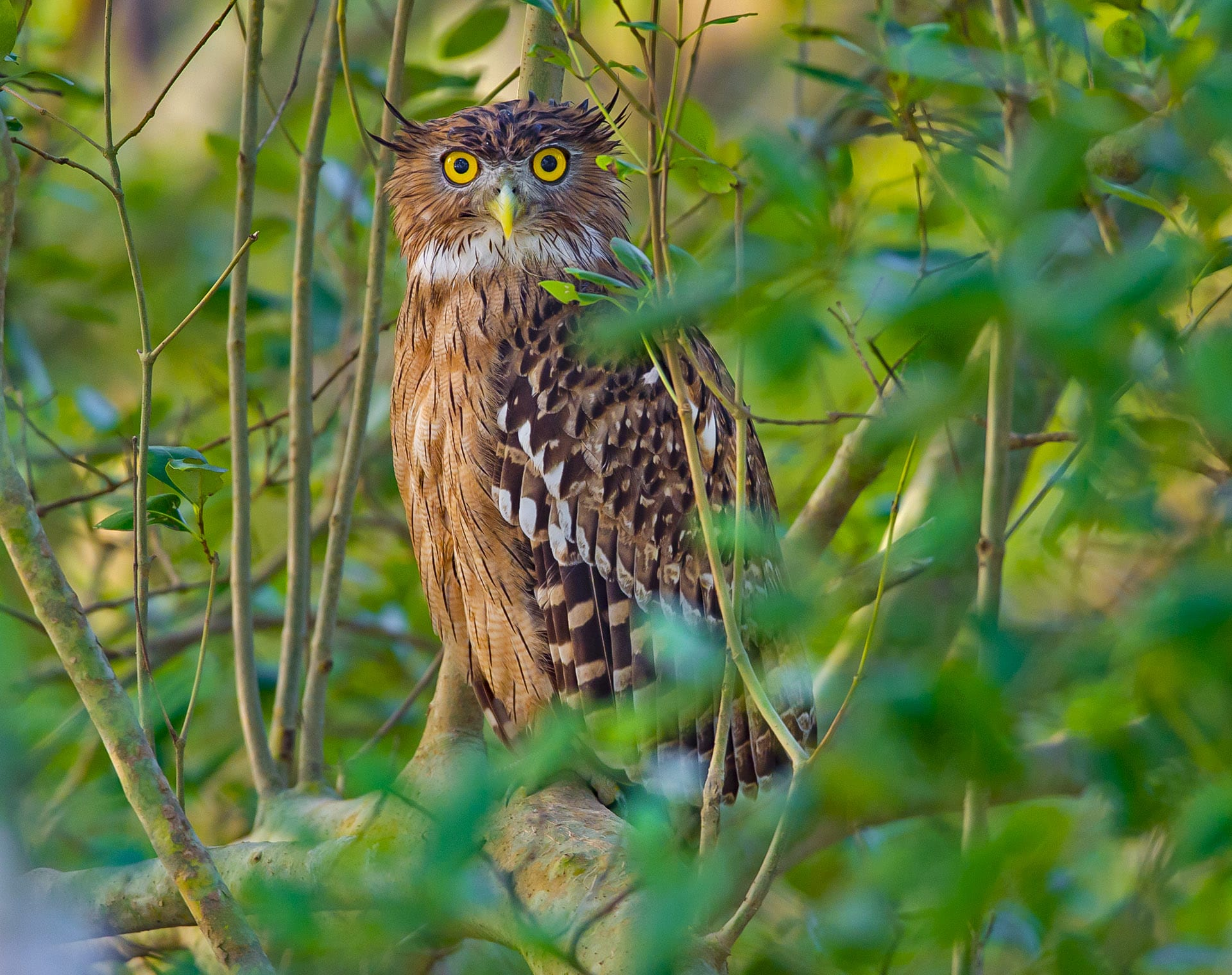 """Fish-owls are a large species always found near waterbodies. They prefer a diet of fish, and will sit at a vantage point keenly observing shallow waters for prey like fish and amphibians. Both the brown fish-owl (Ketupa zeylonensis) (top) and the buffy fish-owl (Ketupa ketupu) (above) have streaked brown-black feathers, a pale breast, tufts on their ears, and haunting yellow eyes. The key difference lies in their distribution. """"Within Indian limits, the range of the buffy fish-owl is restricted only to the mangroves of the Sundarbans, while the brown fish-owl is more widespread, found everywhere from the south to the Northeast,"""" says Dalvi."""