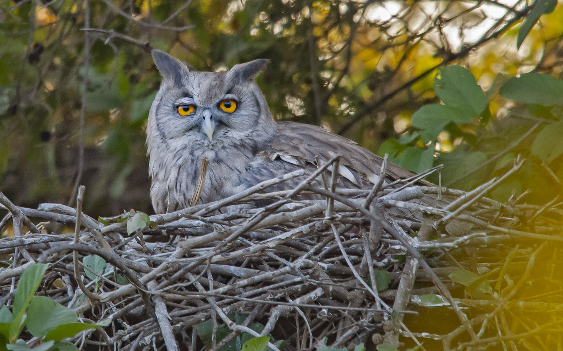 """While smaller owls prefer to roost in tree hollows, larger species, like this dusky eagle-owl (Bubo coromandus) like to perch on tree branches. Their pointy ear tufts give them a distinct appearance, making them fairly easy to recognise. They like to inhabit wide, open areas, preferably near water, so """"you may see them in the grasslands of Kaziranga or near a canal in Haryana,"""" says Dalvi. The best way to recognise them is by their call, he suggests: """"Tak-tak-trrr — like a ping pong ball on a table, but much louder."""""""