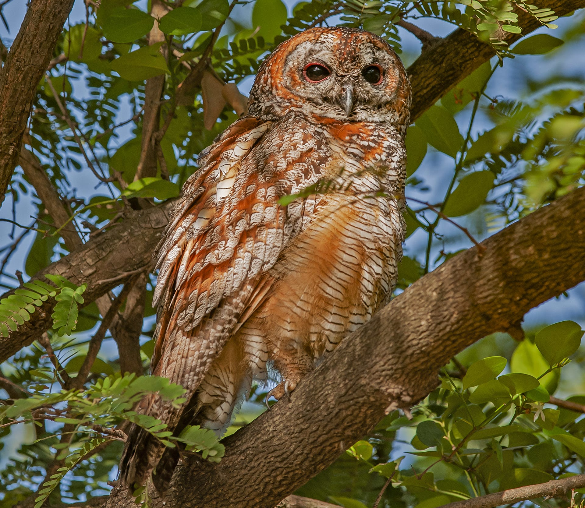 During the day, most nocturnal and crepuscular owls will often roost at a specific spot. In large national parks, forest guides and locals will often know the exact location of a roost, and can point out birds like this mottled wood owl (Strix ocellata), photographed in Gir National Park. They are also seen in open woodlands, like Kanha and Bandhavgarh in Madhya Pradesh. These large owls are well camouflaged against trees, but can be recognised by their loud, distinct hoot. Mottled wood owls are adept hunters, and deftly make a meal of small mammals like rodents and hares.