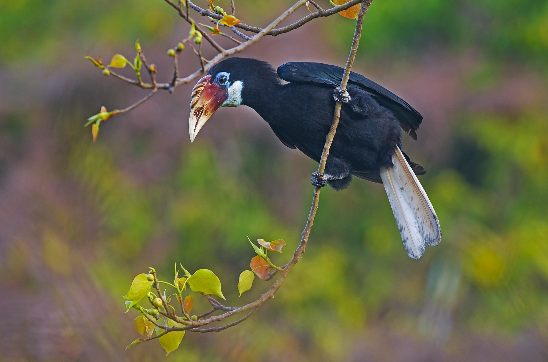 """India has nine species of hornbill, most of which face the threat of hunting and habitat loss. They mostly inhabit old-growth forests with high canopies, and steer clear of areas of human habitation. In contrast, """"the hornbills of Narcondam Island were quite comfortable with human presence,"""" says Dhritiman Mukherjee, """"and some of their nesting sites that were less than two metres from the ground."""""""
