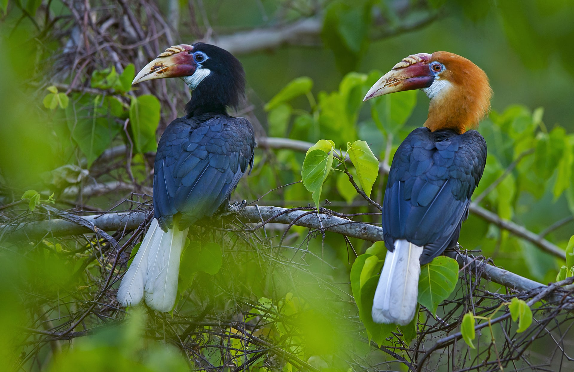"""Males and females of the species are distinct from each other. Males have rufous plumage on their head and neck, while females have blackish feathers. Both sexes have white tails, white throat patches, and similarly coloured beaks. Narcondam hornbills are monogamous, though we do not know if they are """"seasonally monogamous"""" or """"lifetime monogamous"""" (like most other hornbill species). """"So far, we have only short-term research to rely on, for information,"""" says Dr Manchi, """"so we cannot say for sure."""""""