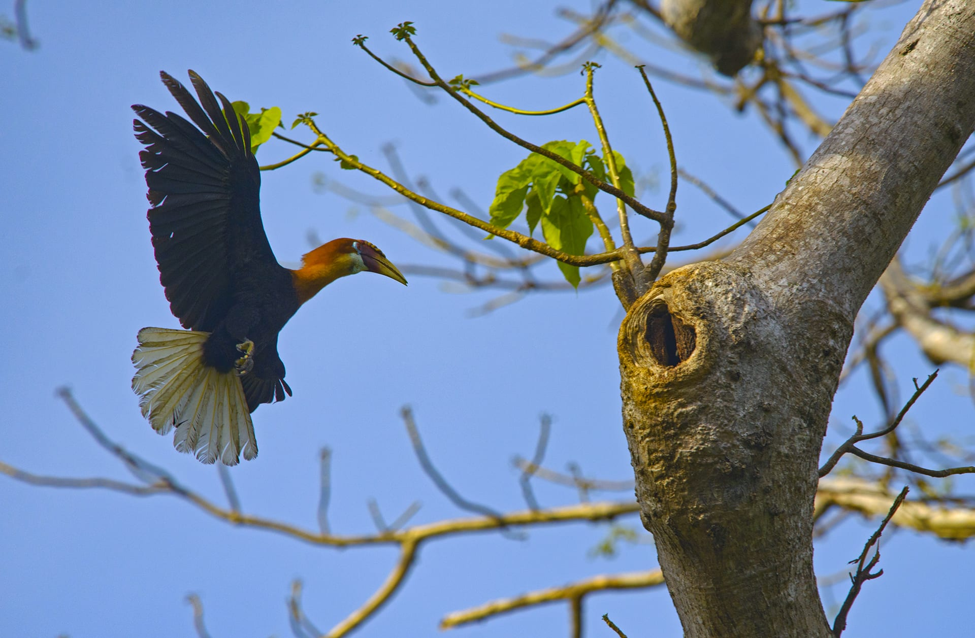 When the breeding is complete, the female hornbill seals herself in tree cavity using a mix of soil and faeces, with only a crack to receive food from her mate. She stays in her nest with her eggs until the chicks hatch and are ready for the outside world. Other species of hornbill are known to return to the same nest year after year to raise their young, but we do not know if this holds true for the Narcondam hornbill.