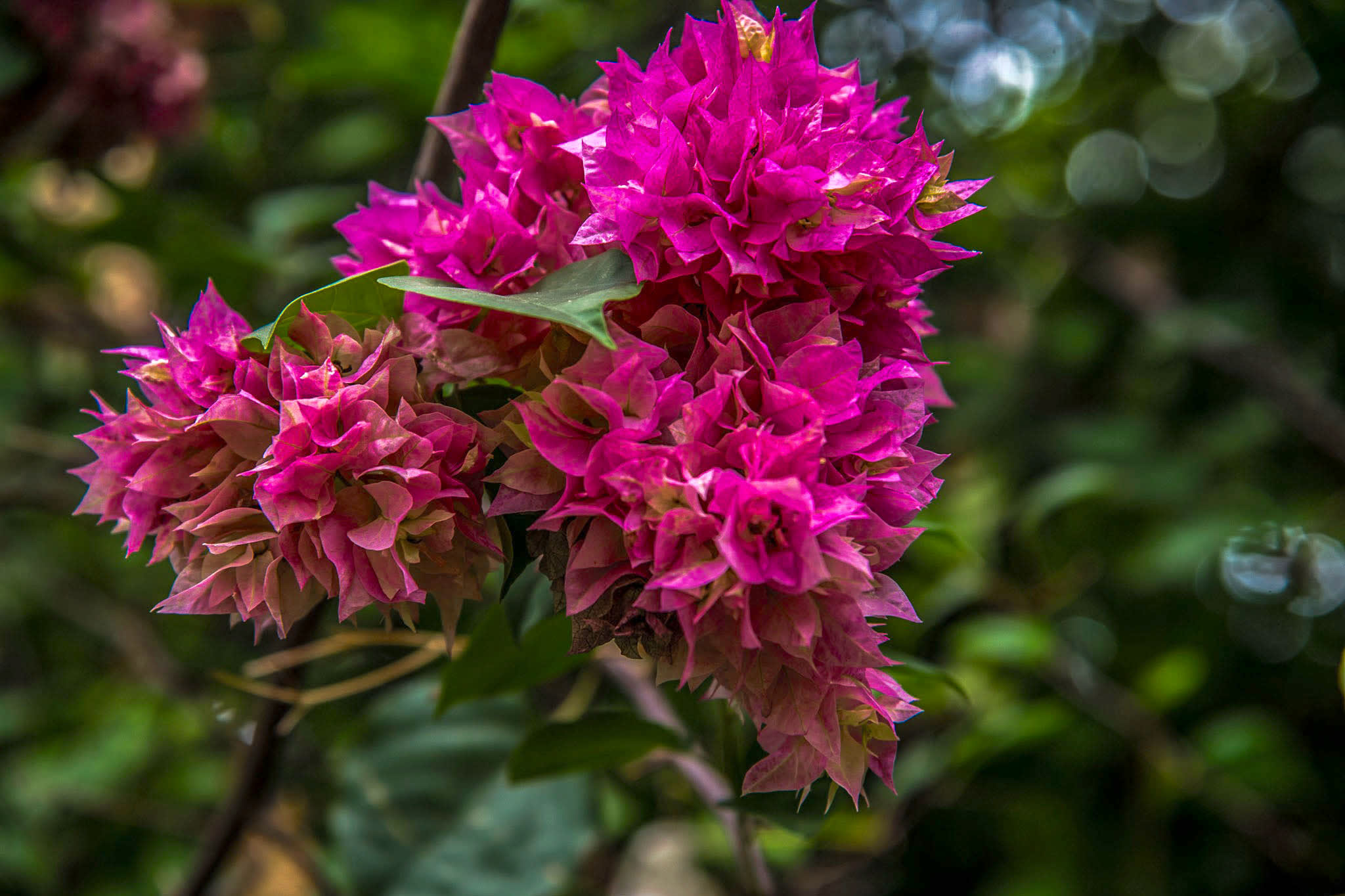 Bougainvillea plants add colour to rooftop garden habitats and are excellent climbers that can grow over walls and other trees