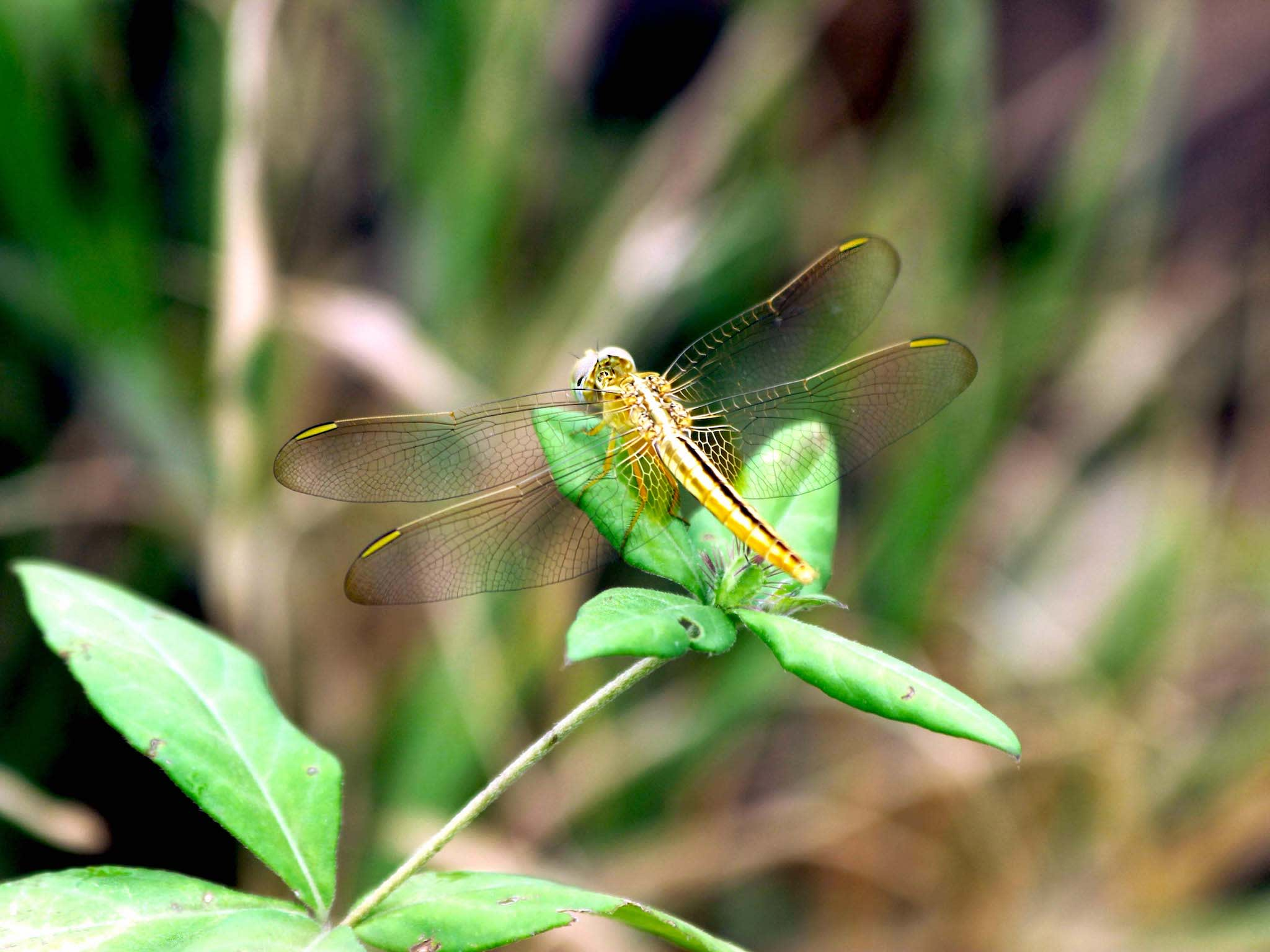 ) A ruddy marsh skimmer dragonfly Crocothemis servilia is often seen close to habitation especially near ponds, ditches and their surroundings