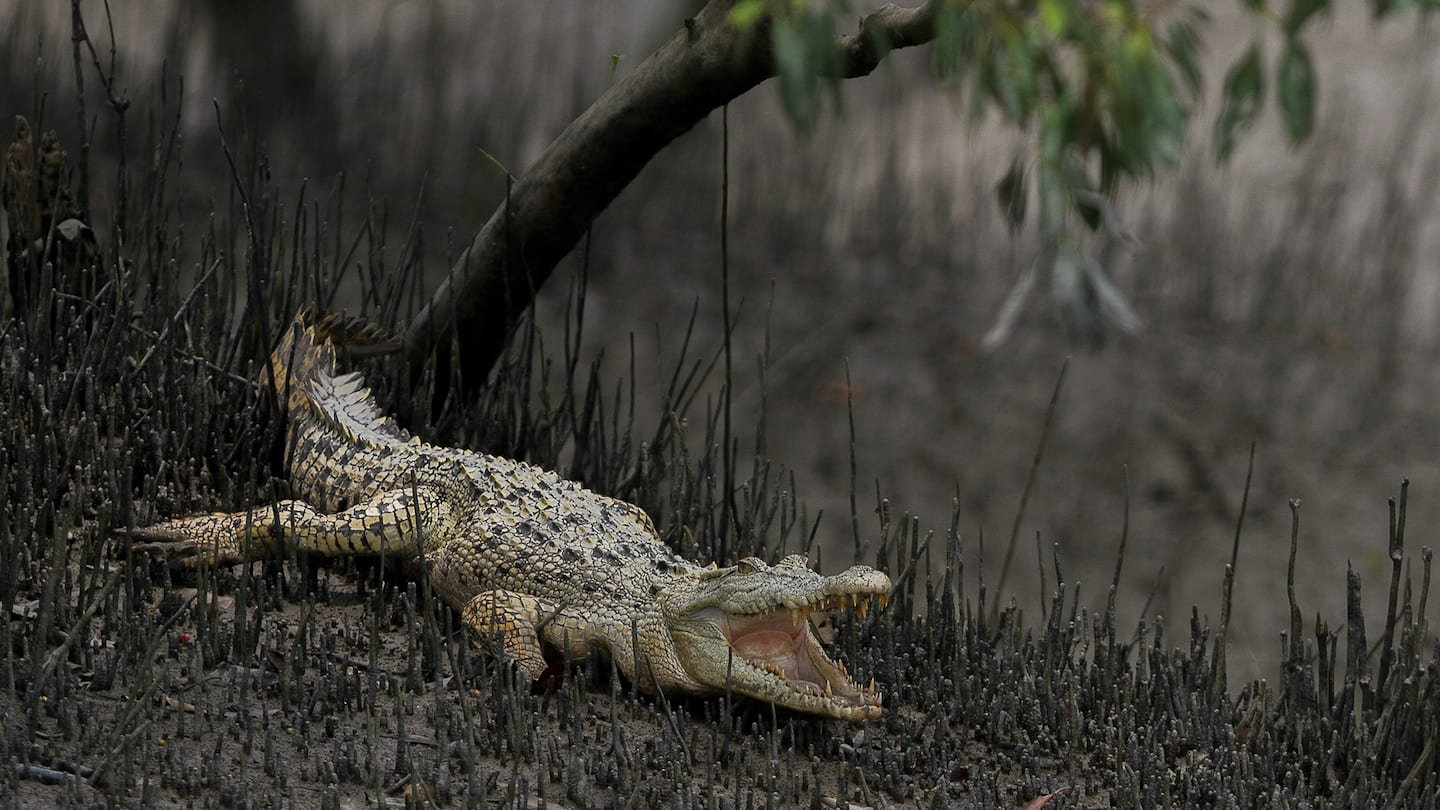 Rare leucistic saltwater crocodiles or albino crocodiles are occasionally spotted in the Sundarbans. The white hue is a result of a partial loss of pigmentation. Photo: Soumyajit Nandy