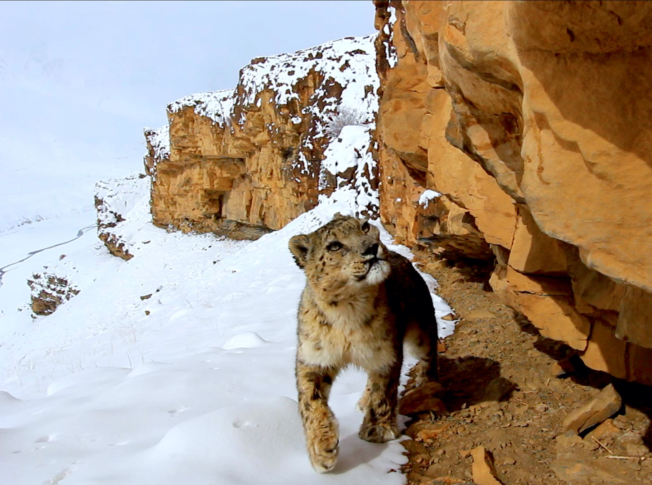 Protecting the Snow Leopards of Asia's Mountains
