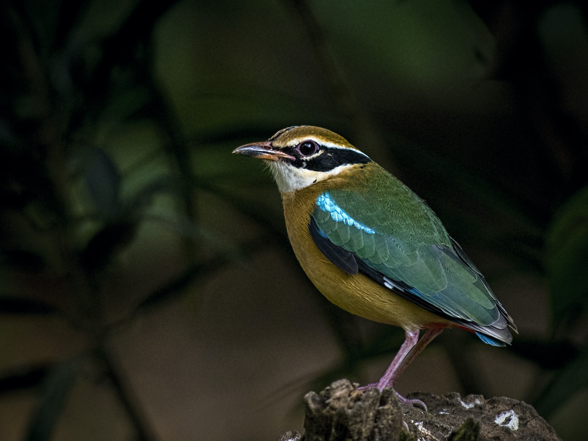 Indian Pitta: A Whistling, Winged Rainbow