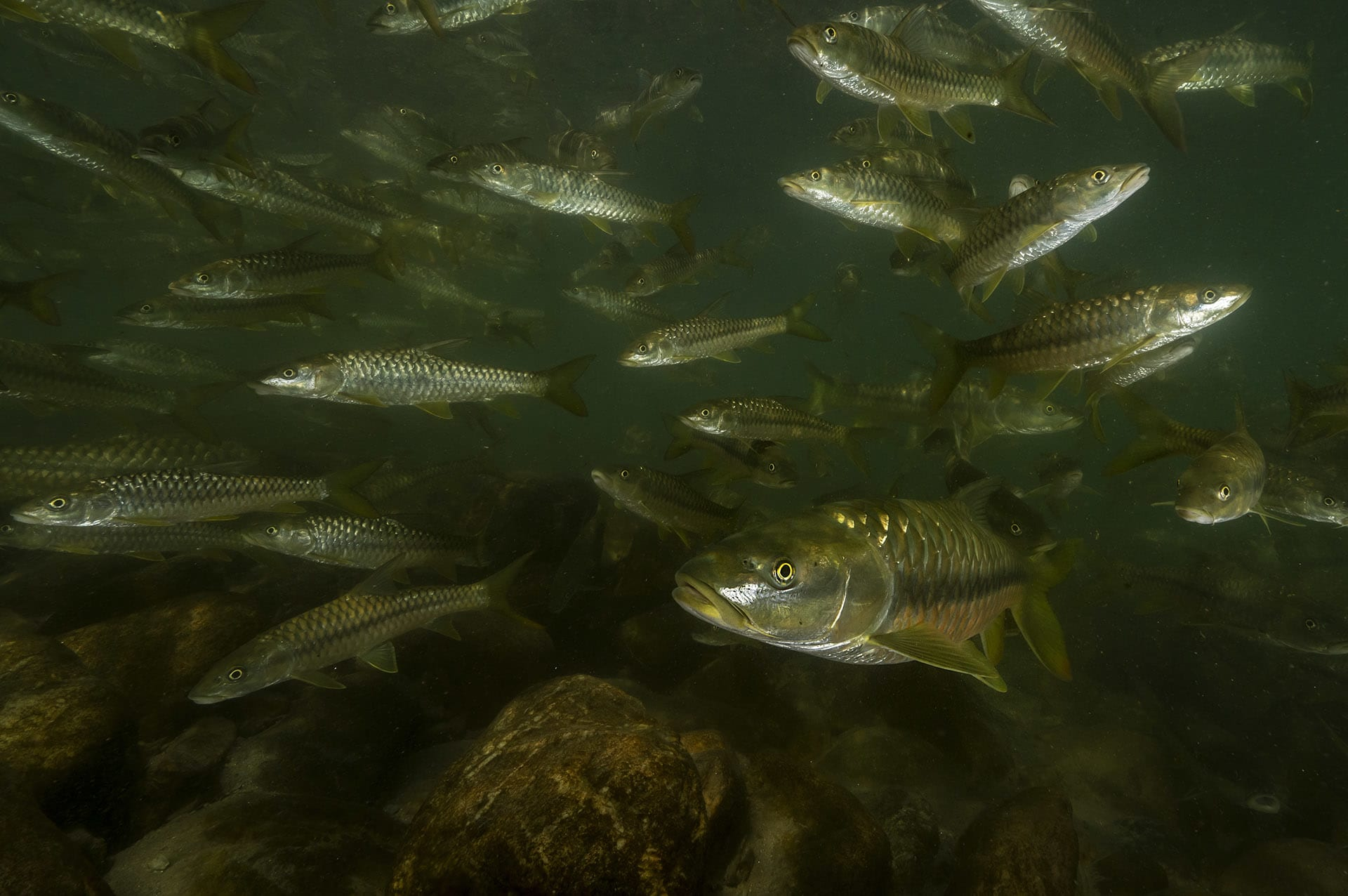"""However, there are bigger threats to the mahseer than angling communities. In recent years, the species has been hunted in alarming ways: using dynamite, poison, even electrocution. These practices still exist in Uttarakhand and other states. Habitat loss is another cause for concern. Hydrological projects hamper the golden mahseer's ability to migrate, as the species requires connectivity in a river system. """"Ramganga Dam and several other dams in Himalayan states have posed a hindrance to the natural migratory pattern of this species,"""" explains Dr Atkore. """"This has fragmented their population both above and below the dams, and restricted genetic exchange."""""""