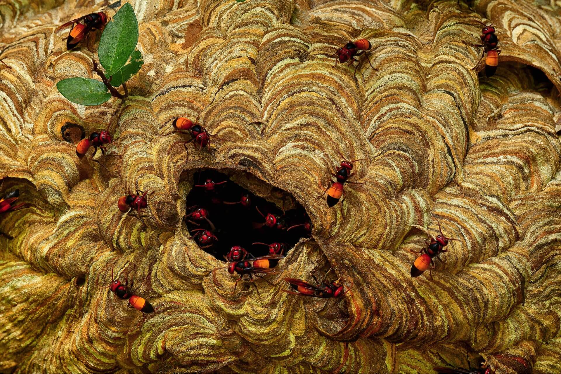 This large colony of lesser banded hornets was photographed by KALLOL MUKHERJEE in his garden in Singur, West Bengal. He wrote about them,