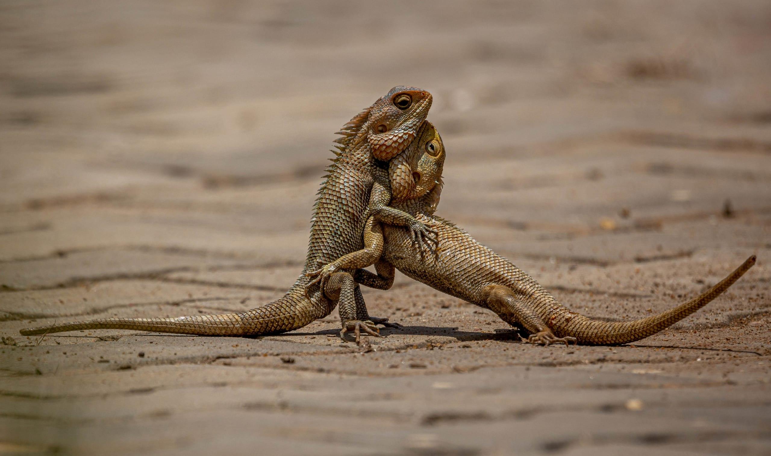 This photograph of oriental garden lizards was taken by DIPANJAN NATH of Bengaluru, Karnataka