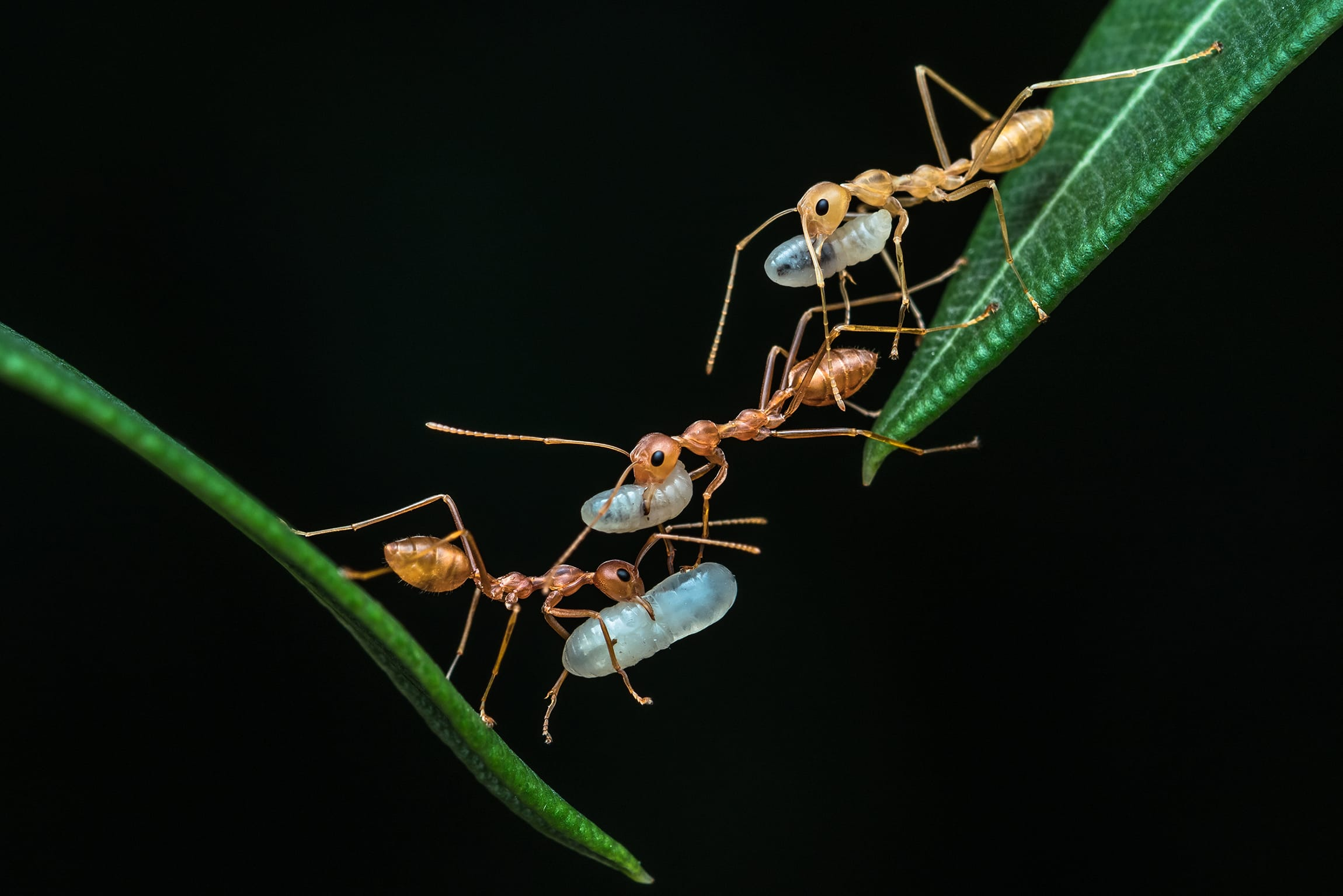 "PADMANAVA SANTRA of Kolkata, West Bengal, photographed these ants the day after cyclone Amphan. He said, ""A big mango had fallen behind my house and a weaver ant nest was destroyed. I found them moving from leaf to leaf, carrying their eggs to a safe place""."