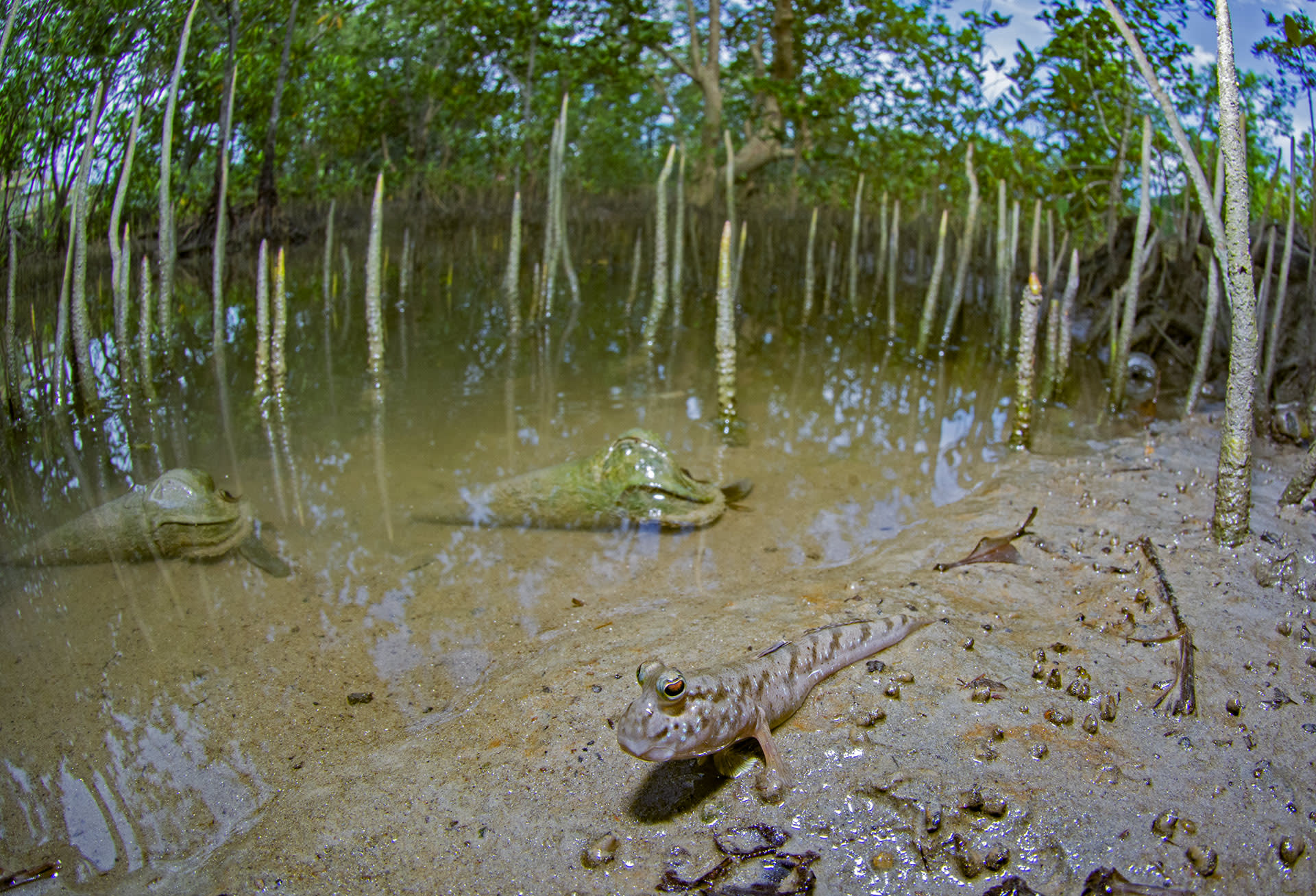 """""""Very little is known about the small creatures that thrive in the Sundarbans"""", says Bhattacharyya. Various components of this mangrove delta make these creatures diverse and complex. Numerous kinds of molluscs inhabit tidal flats and backwater inlets during low tide. When the tide rises, they are seen on tree trunks. These include gastropods such as Telescopium (seen in the background). Amphibious fish like mudskippers (foreground), which belong to the goby family and are potential bio-indicators of mangrove forests and coastal waters, i.e. they reveal the pollution levels of a habitat. These gobies can breathe both underwater and on land. Their tissues can absorb and accumulate traces of pollution emitted from various sources in intertidal environments. Mudskippers can accumulate toxic chemicals in their skin, gills, and digestive system. In the Sundarbans researchers have monitored them to investigate copper, iron, zinc, and lead pollution levels."""