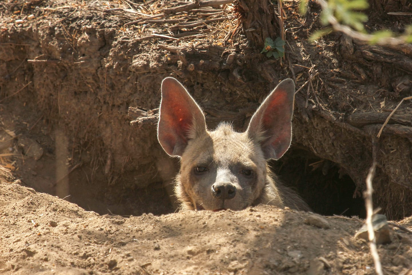 Indian striped hyena peeping out from the security of its den.