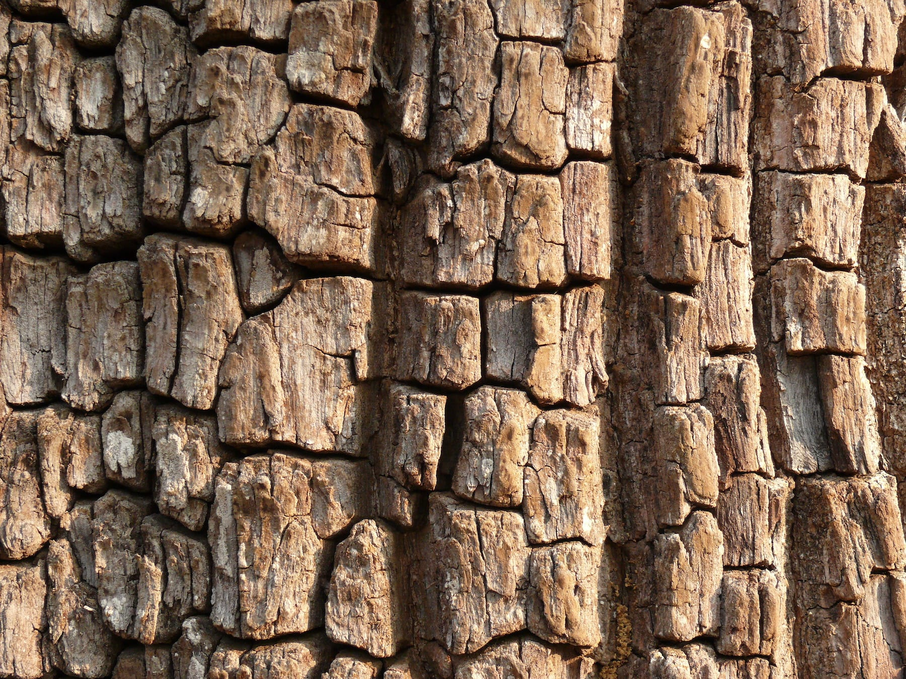The crocodile bark tree gets its name from the characteristic pattern on its trunk that resembles a crocodile's scales.