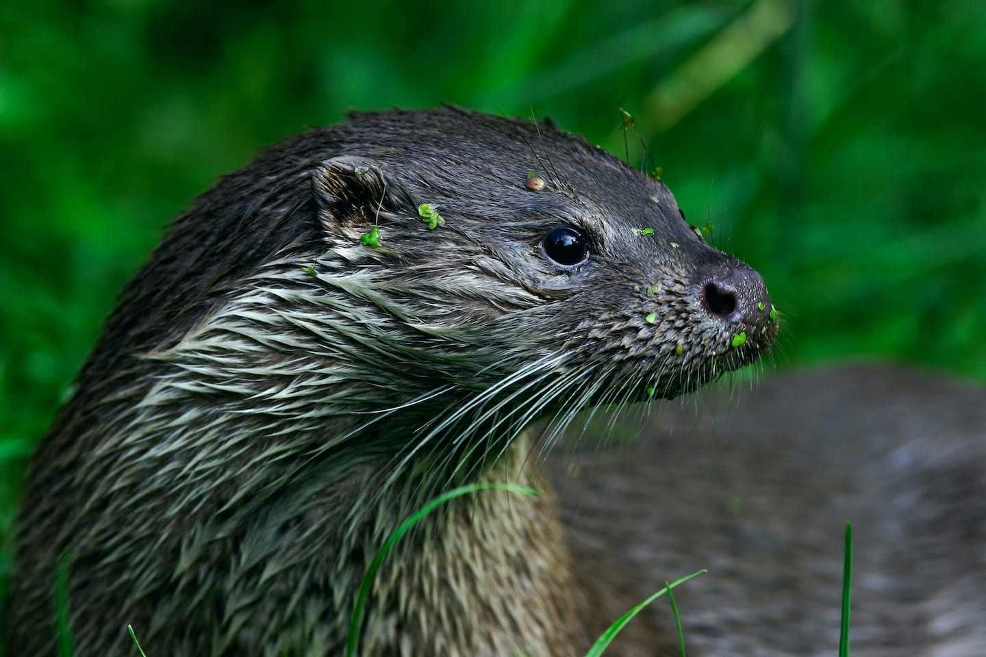 A Hidden Life: The Mystery of the Eurasian Otter