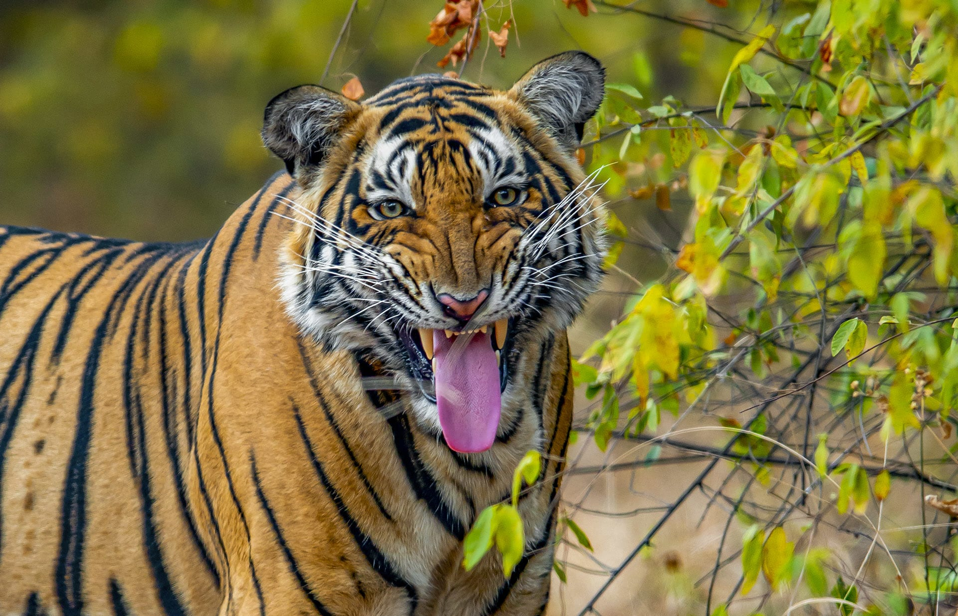 "When a tiger sniffs the scent markings left by other cats, it scrunches up its face and opens its mouth in a manner that has been described as ""grimacing"", and ""tongue-out emoji"". This is called the flehmen response, and is meant to expose the Jacobson's organ, an olfactory receptor in the roof of a tiger's mouth that allows the feline to ""read"" the pheromones and chemicals deposited on a tree or rock. Research suggests that male tigers use the flehmen to figure out the location of other tigers, and to determine if tigresses are ready to mate."