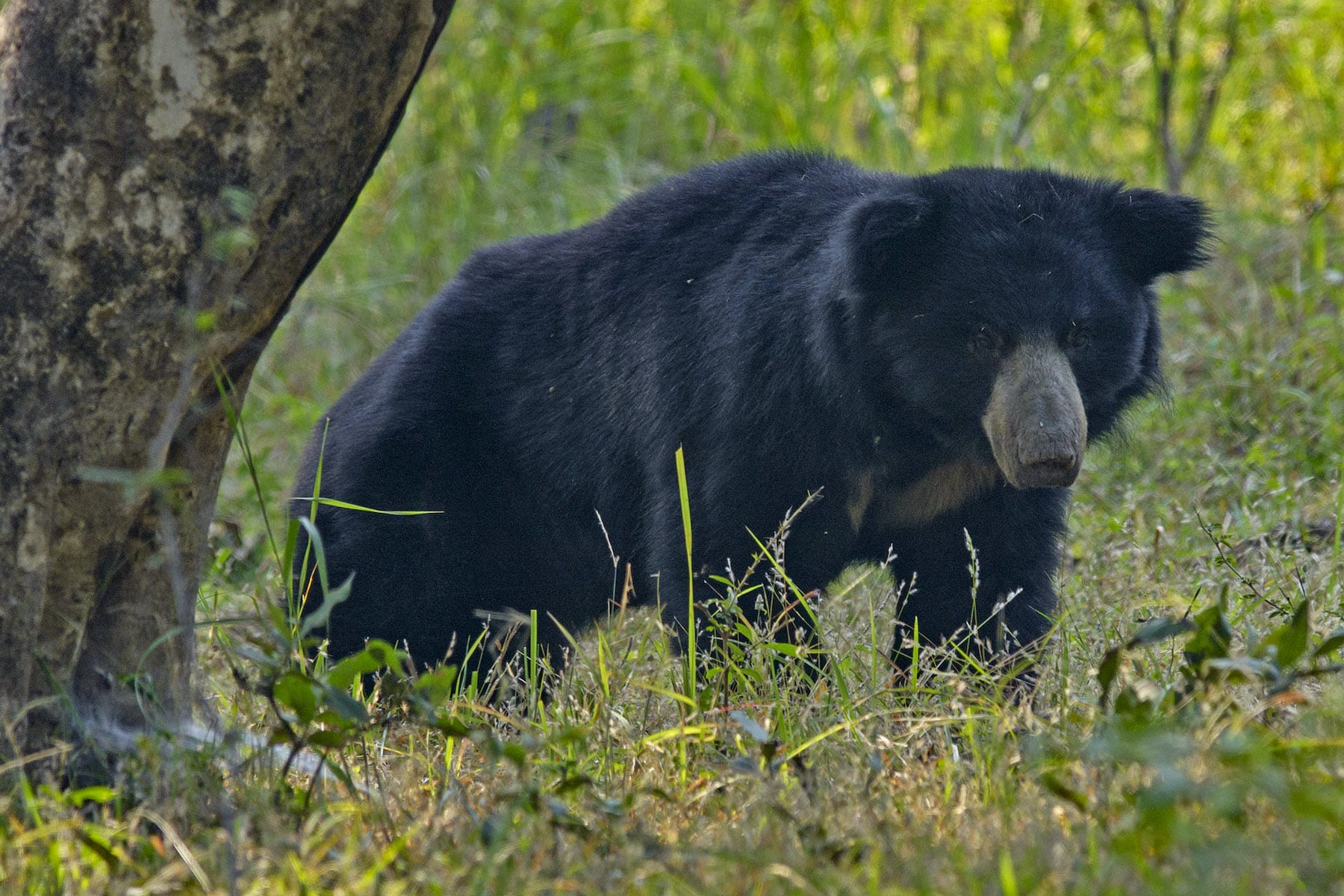 The termite and ant-eating sloth bear is equally elusive in these forests.