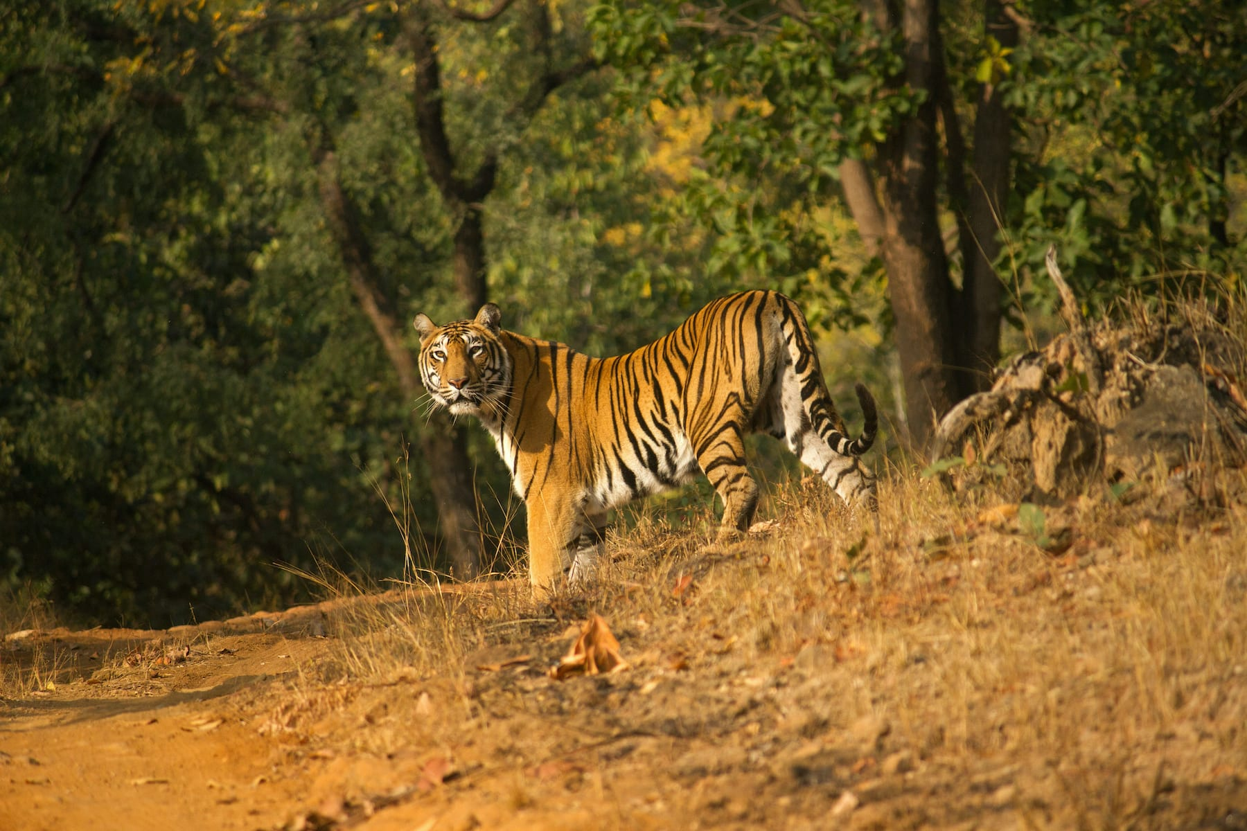Though Satpura has a healthy population of tigers, its hilly terrain and dense forests make spotting the feline extremely difficult.