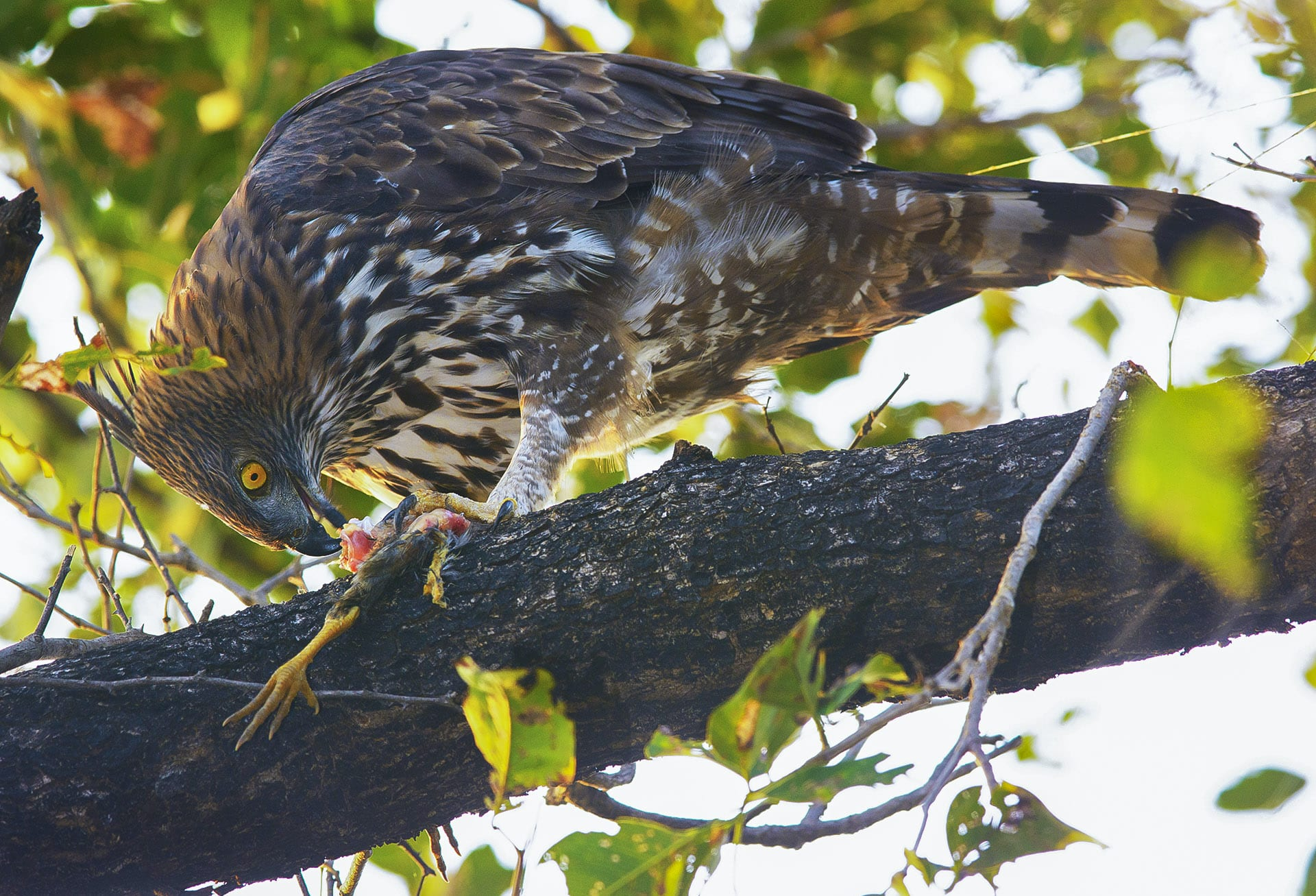 Satpura National Park has over 300 species of birds. In the dense forests of mahua and sal you can spot, among many other birds, such as this changeable hawk eagle