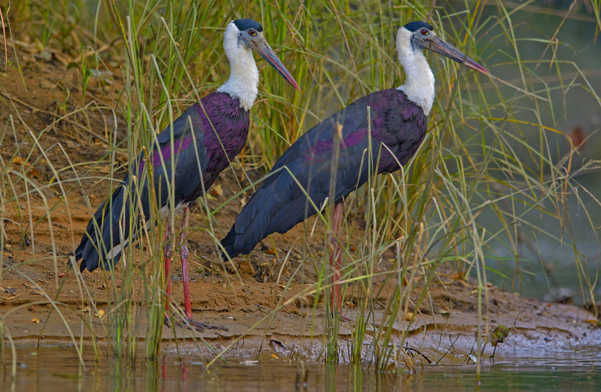 he backwaters of the Denwa River are popular with birders trying to spot waders such as woolly-necked storks (above right).