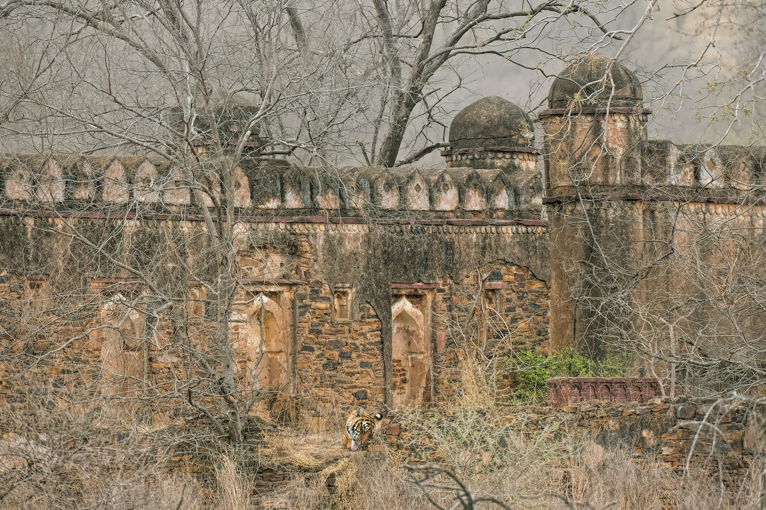 This masjid (mosque) along the Padam Talao with its onion domed slender minarets at the end of thick stone walls, large vaulted gateways opening into a big courtyard is a classic example of Ranthambore's Indo-Islamic architecture. This one is definitely one of my favourite buildings in Ranthambore. This mosque is in an area that has a very high density of ungulates, so tigers frequently hunt in this area, using the cover provided by the building to get close to their prey.