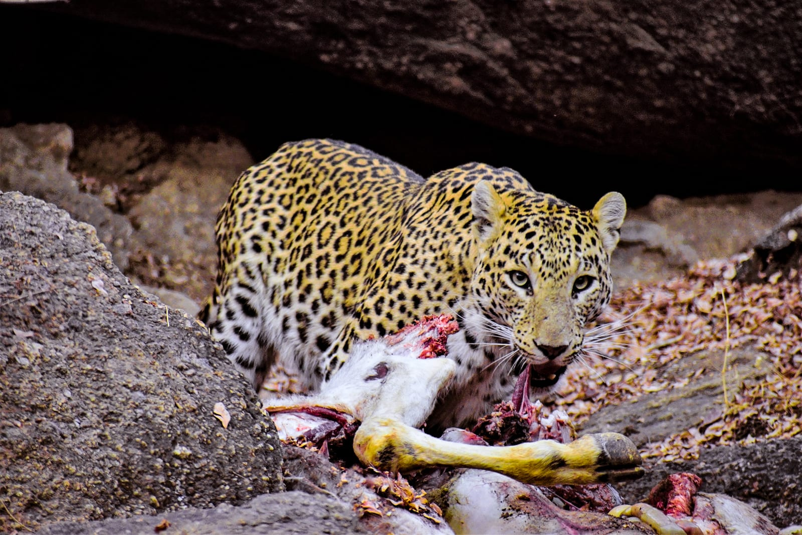 """Noor feeds on a cow she dragged from a cattle shelter outside the sanctuary. She enjoys the tolerance that locals have towards large cats. """"I took this photograph in 2018 when she had two young cubs to feed,"""" says Bishnoi.  According to a wildlife census carried out in 2020, an estimated 136 leopards (Panthera pardus) are found in and around the Kumbhalgarh sanctuary. Those that live on the periphery of the sanctuary may occasionally take a goat or a cow, especially when they have hungry cubs to feed. Leopards are opportunistic scavengers too; they will not pass up an opportunity to feed on a carcass, such as a buffalo (next image) dumped by villagers near the boundary wall of the sanctuary."""