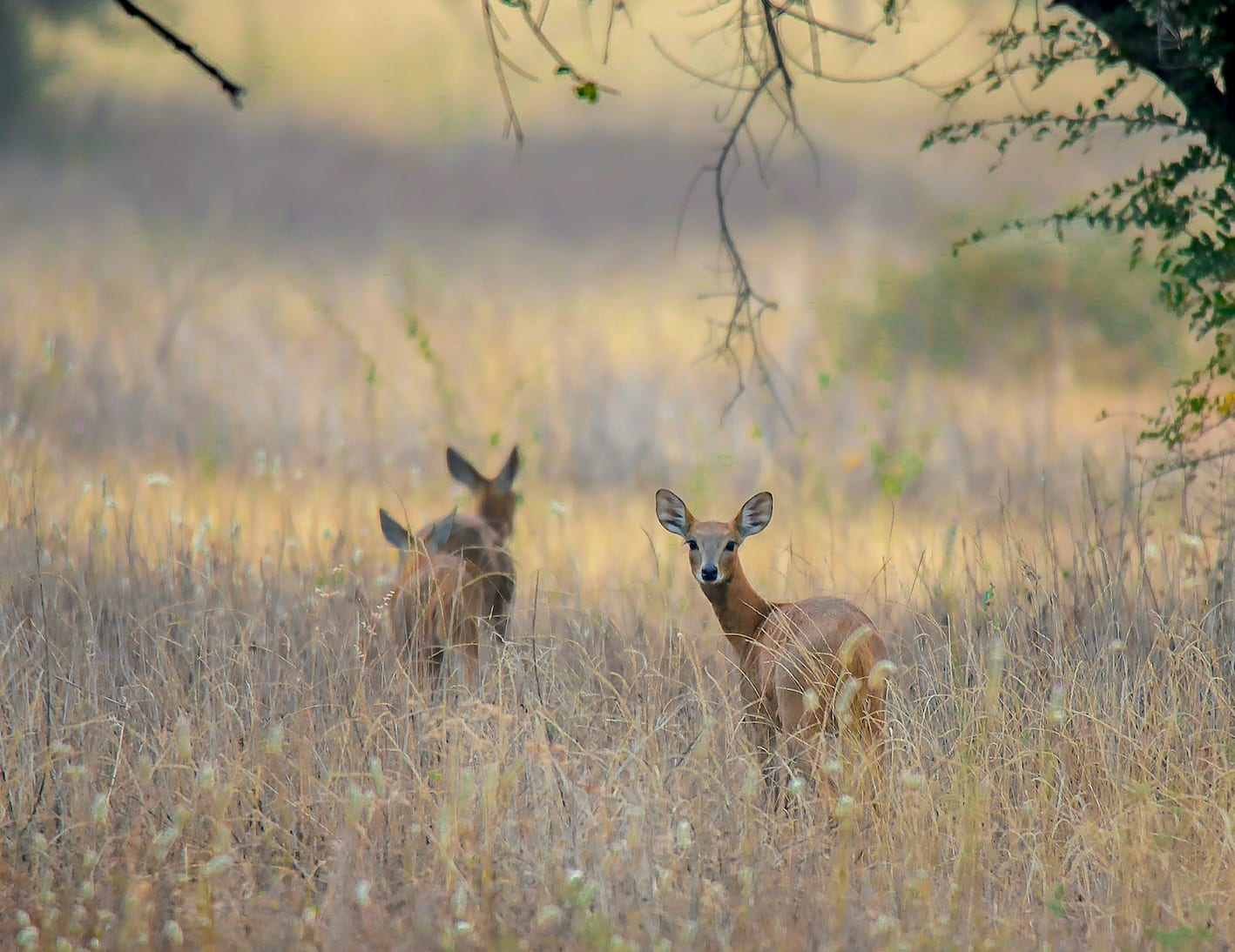 Chousingha: The Shy Four-horned Antelope