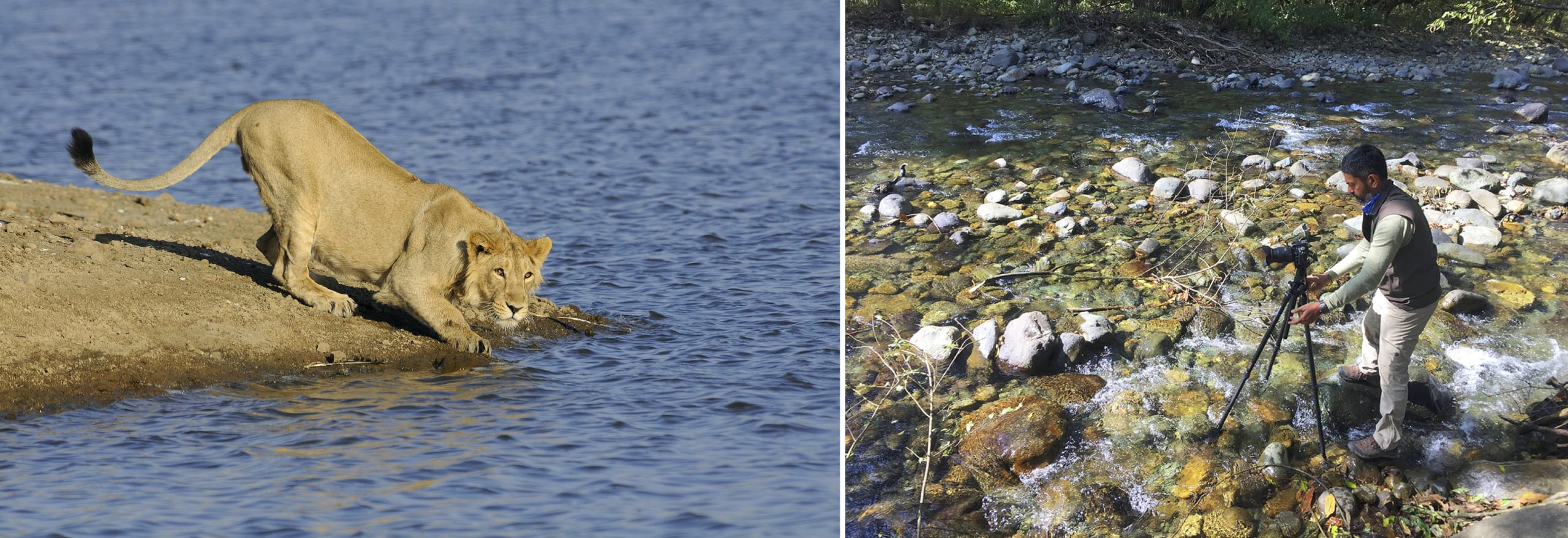 Anish Andheria has been an avid wildlife photographer for most of his career. (Left) A photograph of a sub-adult lion he took in Gir National Park, Gujarat. (Right) Photographing a river in Dachigam, Jammu and Kashmir. Photos courtesy: Anish Andheria (left), Bittu Sahgal (right)