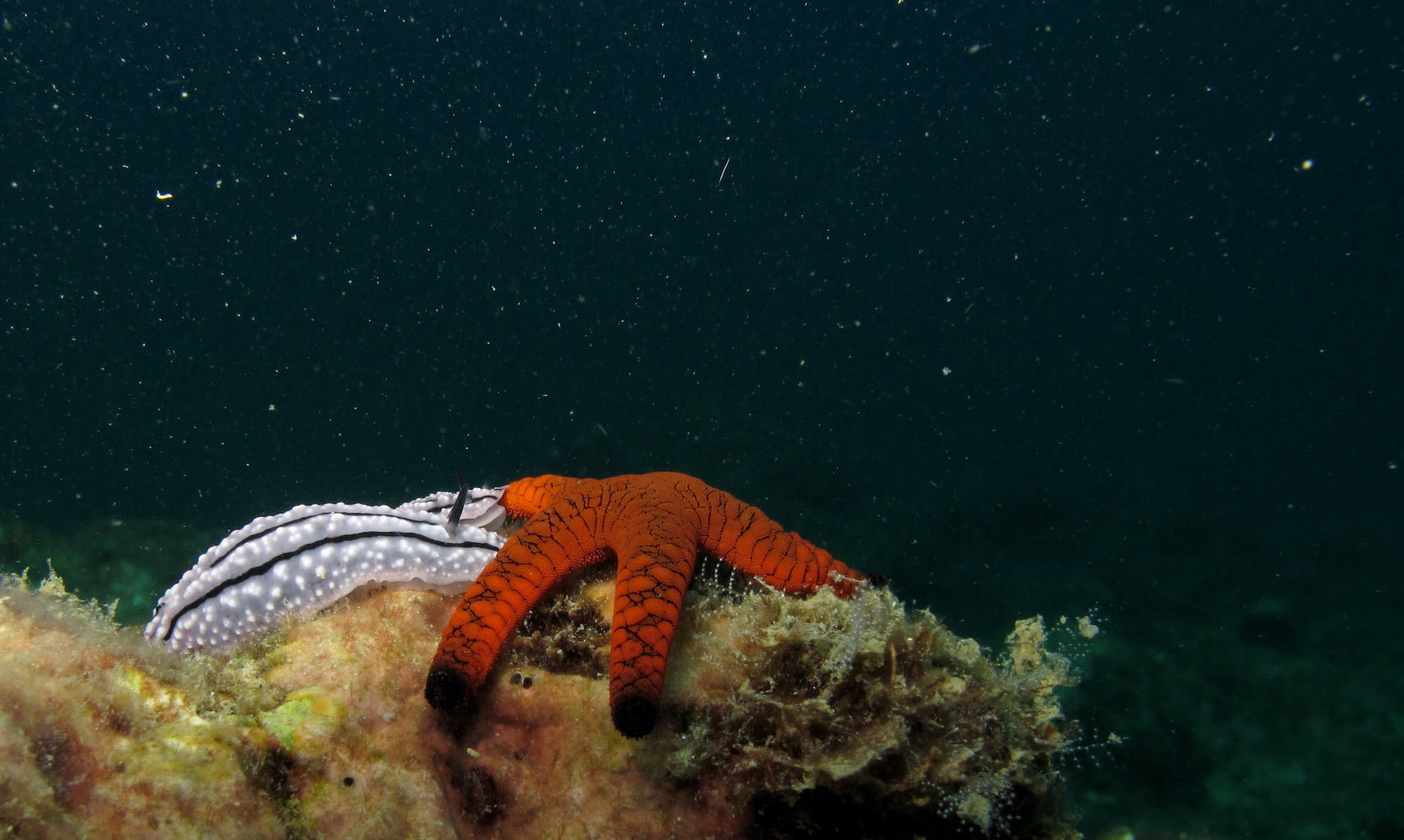Marine life often appears more beautiful, colourful and mysterious during a night dive. In the Andamans, an Indian sea star interacts with a pair of sea slugs on a reef,