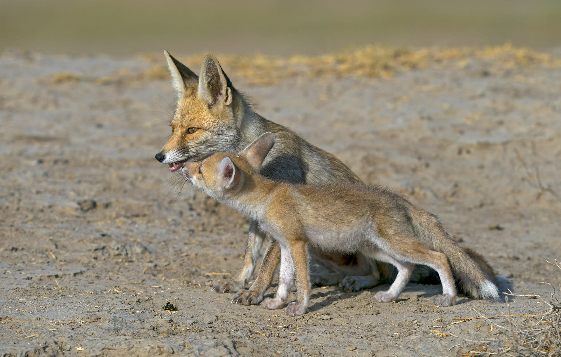 "The desert fox (Vulpes vulpes pusilla) is one of two species of fox found in the Little Rann of Kutch. The other is the Indian fox, a.k.a. Vulpes bengalensis. As its name suggests, the desert fox, is found in arid conditions and deals with the extreme nature of its habitat by modifying its behaviour. ""They are most active at dawn and dusk but in winter, it can be seen hunting during mid-day,"" says Dr Rahmani. ""They are opportunistic foragers so during monsoon, when it's drizzling, they come out in search of insects, rodents and lizards, which also become active. During extremely hot days, they stay in their burrows, and on extreme cold nights, they huddle, curled up in the burrow or under a bush."""