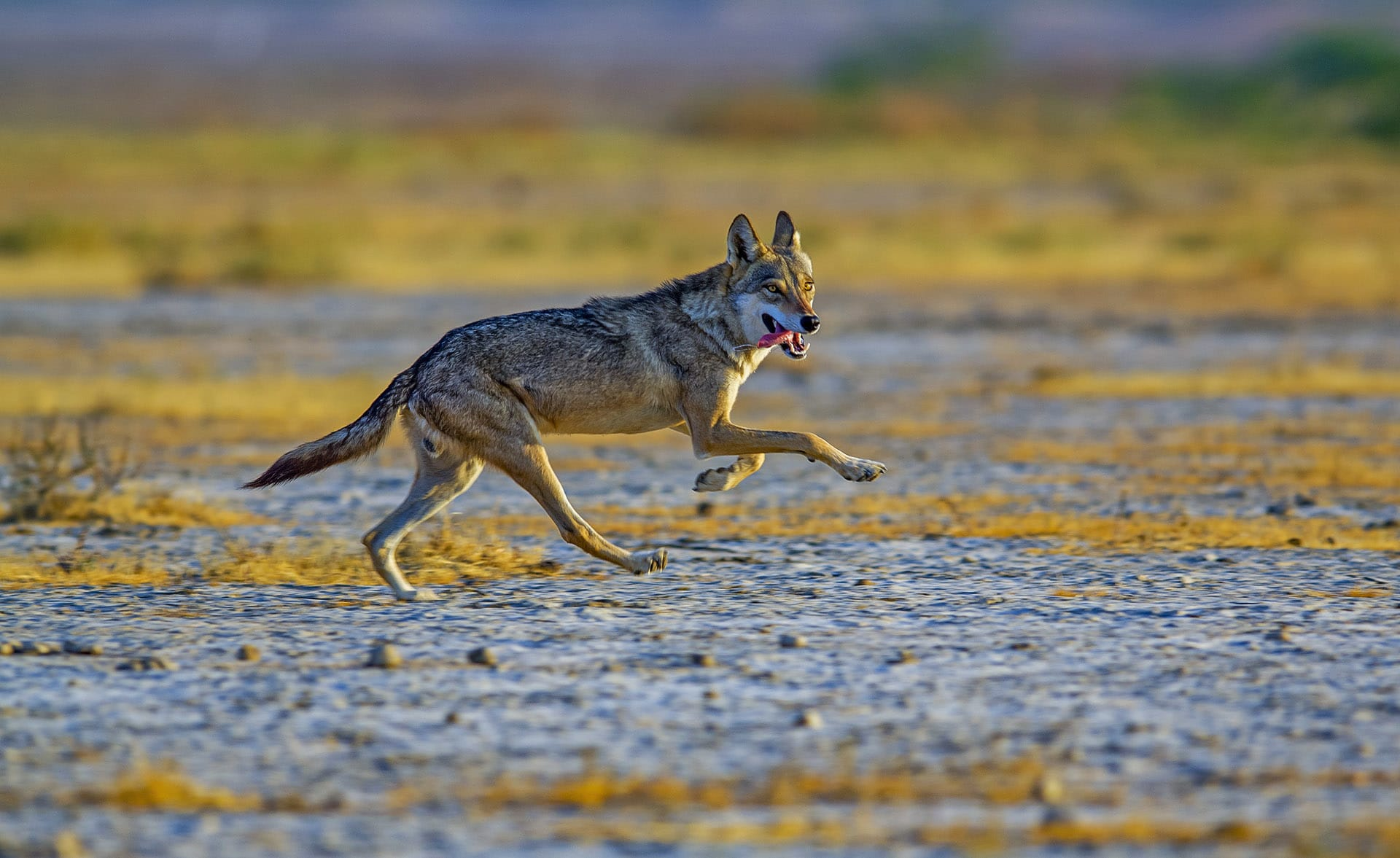 The Indian wolf (Canis lupus pallipes) too roams these parts. It is found across Asia, from Israel to China, but their numbers have been dwindling due to loss of habitat, further resulting in conflict with human beings.