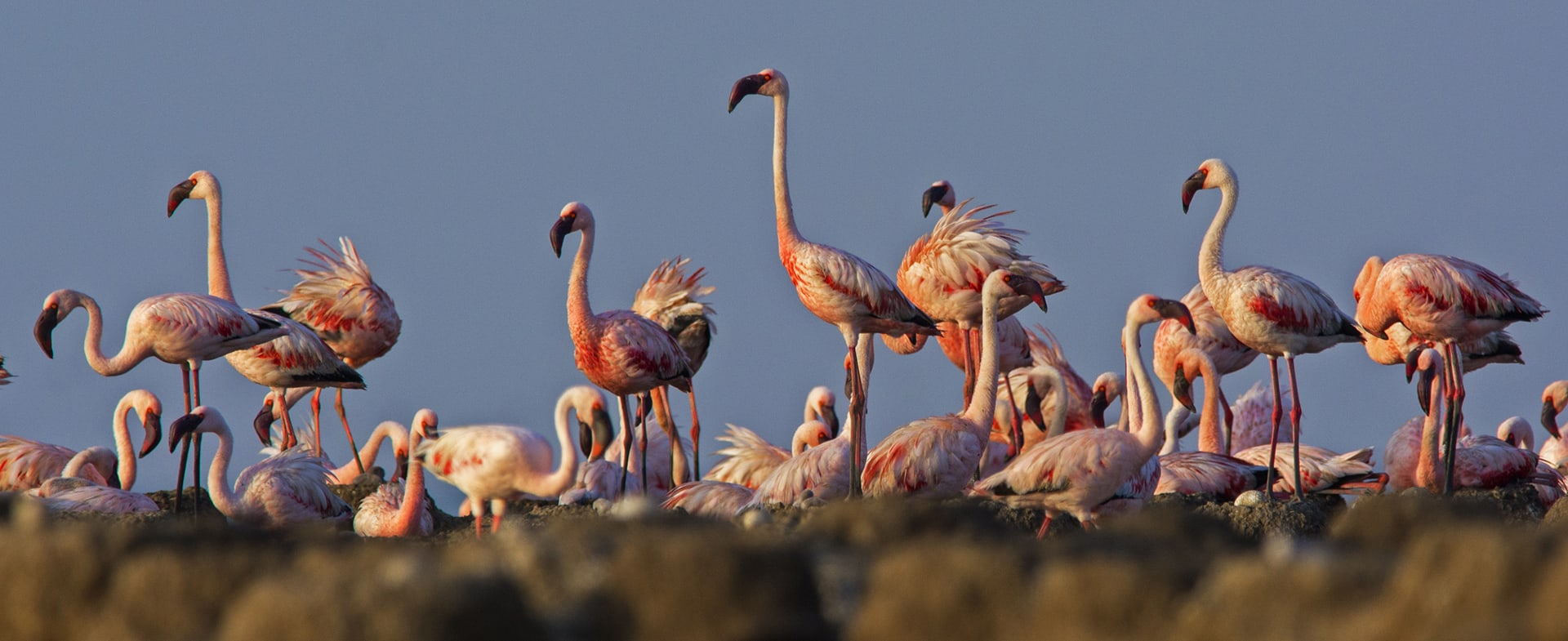 """""""We have also seen the birds use salt pans for nesting in the last 30-40 years,"""" says Shah. The raised borders, or bunds of these pans are colonised by flamingos when larger numbers arrive for nesting. """"Out of the 5-6 colonies that I have been monitoring, I see at least 1-2 on the salt bund,"""" says Shah."""