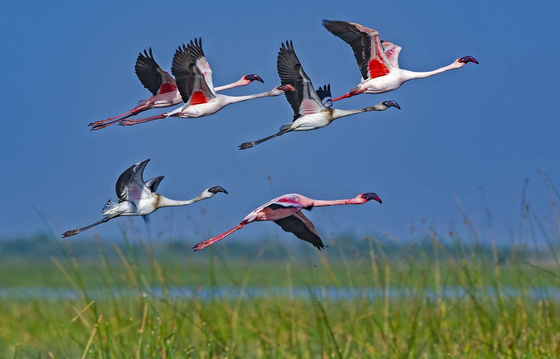 """Once the young can fly, the birds leave the breeding grounds. """"By December-January, we start getting reports of birds arriving in Maharashtra, near Thane creek,"""" says Shah. """"We also know of greater flamingo populations in Point Calimere in Tamil Nadu, Okhla barrage in Delhi, Harike Lake in Punjab, and Sambar lake in Rajasthan, but we cannot say whether these are the same birds that come to the Rann in the monsoon.""""  Satellite tracking is one way to understand their movement, says Shah, but equipment is prohibitively expensive. """"Almost 50 per cent of the tags fail, and these majestic birds are not getting the kind of research funds and grants that the species deserves."""""""