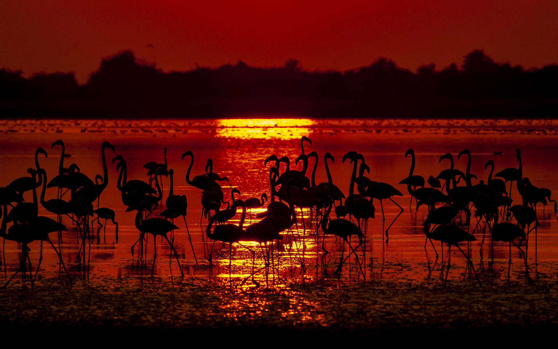 """Flamingos are monogamous; they mate with the same partner for life, or until one of the birds dies. The breeding cycle of both greater and lesser flamingos takes at least 2.5 months and involves nesting, egg-laying, hatching, and caring for young until they are old enough to travel. Before they arrive in the Rann, however, the birds engage in an elaborate courtship ritual where adult birds march together in unison. """"Imagine 400 to 1,000 adult birds, with their necks upright, and beaks facing the sky, all bobbing their heads left and right in perfect synchrony,"""" says Shah. """"I have seen these displays last from 90 minutes to nine hours."""""""