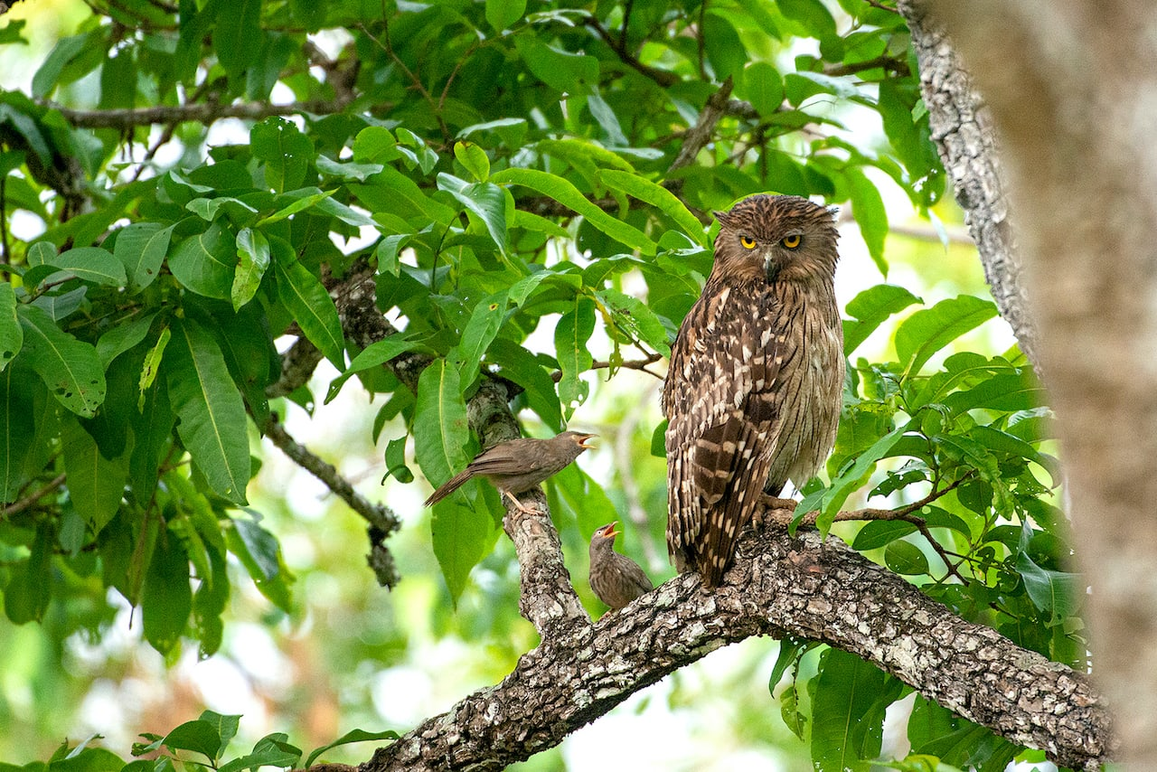 """India has three species of fish owls: (pictured here) brown fish owl (Ketupa zeylonensis), buffy fish owl (Ketupa ketupu), and tawny fish owl (Ketupa flavipes). These large birds are found close to waterbodies in forests, where they often scoop fish from the water's surface. Adapted to a fishing lifestyle, they have long legs and a rougher texture at the bottom of their toes compared to similar-sized eagle owls. In addition to fish, they feed on frogs, crabs, small reptiles, mammals, and birds. The brown fish owl """"is fond of bathing and will waddle into the shallows at the edge, shuffling itself in the normal manner of birds, thereafter drying and carefully preening the plumage"""" according to Salim Ali and S. Dillon Ripley in their famous book, Handbook of the Birds of India and Pakistan. Brown fish owls are found across the Indian subcontinent, while tawny fish owls are seen in the Himalayas and Northeast India, and buffy fish owls are limited to the Sundarbans."""