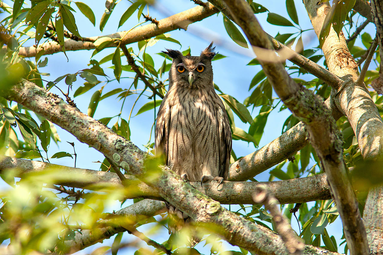 Dusky eagle owls (Bubo coromandus) inhabit well-wooded areas and groves near waterbodies. A pair may inhabit the same area for many years. Usually nocturnal, the birds sometimes hunt during the day in cloudy weather. In addition to frogs and fish, small mammals, birds, reptiles, and large insects (like water beetles) are on its menu.