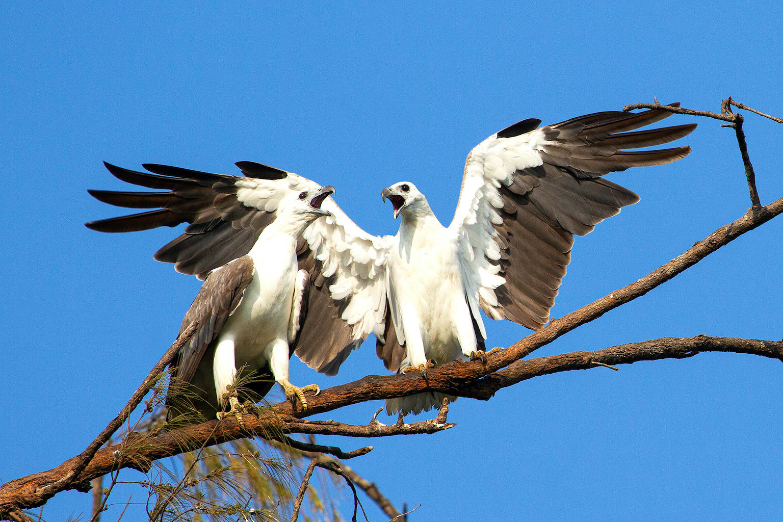 The white-bellied sea-eagle (Haliaeetus leucogaster) rules the coastlines of South Asia, Southeast Asia, and Australia. An entirely white underbody, massive wings (held in a V-shape when gliding) and loud honking calls make it unmistakable. It mainly hunts aquatic animals such as sea snakes, turtles, and fish from near the surface, but is also a known kleptoparasite, stealing food from Brahminy kites, ospreys, gulls, and other white-bellied sea-eagles.