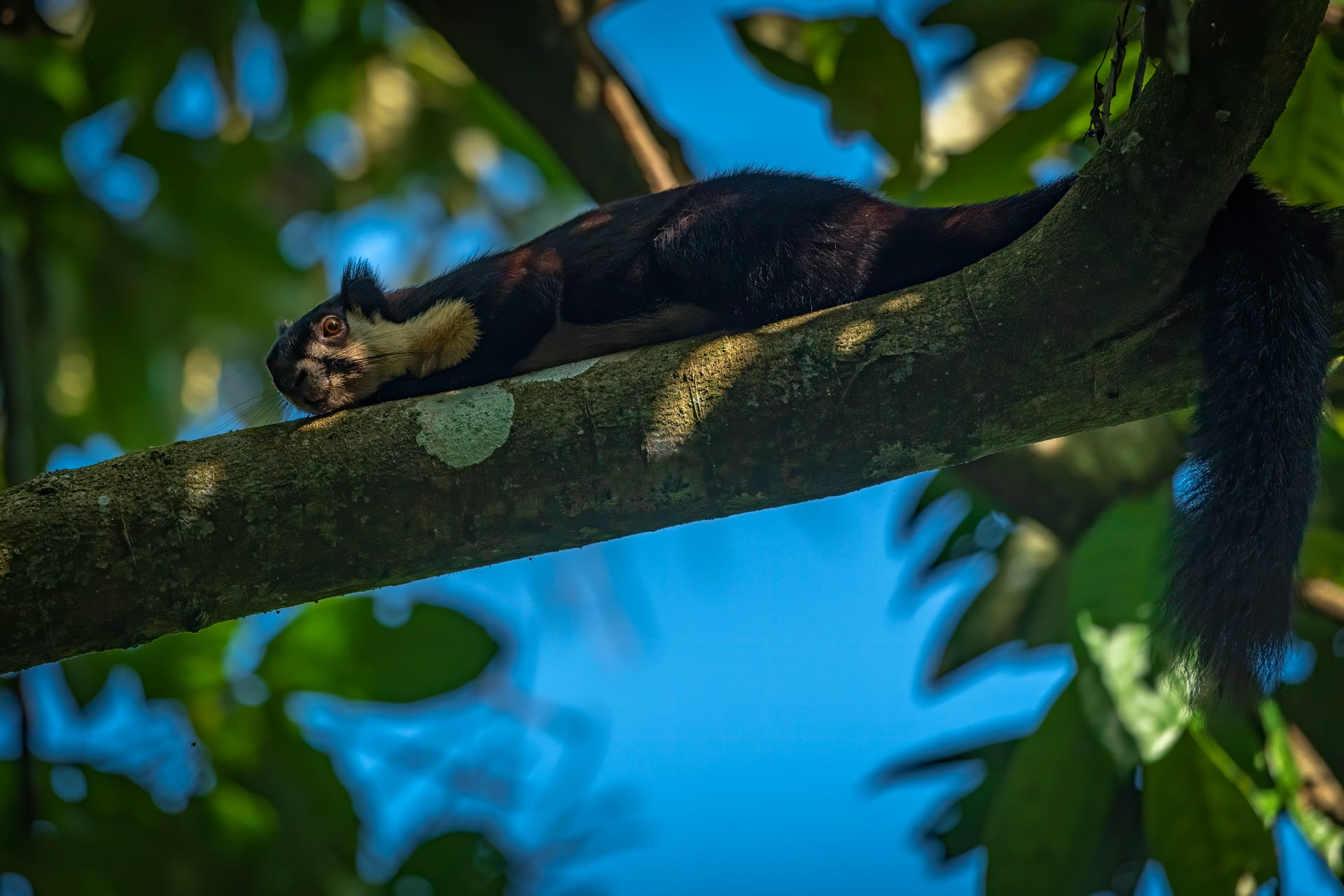 Black giant squirrels are most active during the morning and evening. They are often observed resting comfortably on a branch in the afternoon. Black and Indian giant squirrels are also known to flatten themselves against a branch and remain motionless when they spot a predator. Photo: Soumabrata Moulick