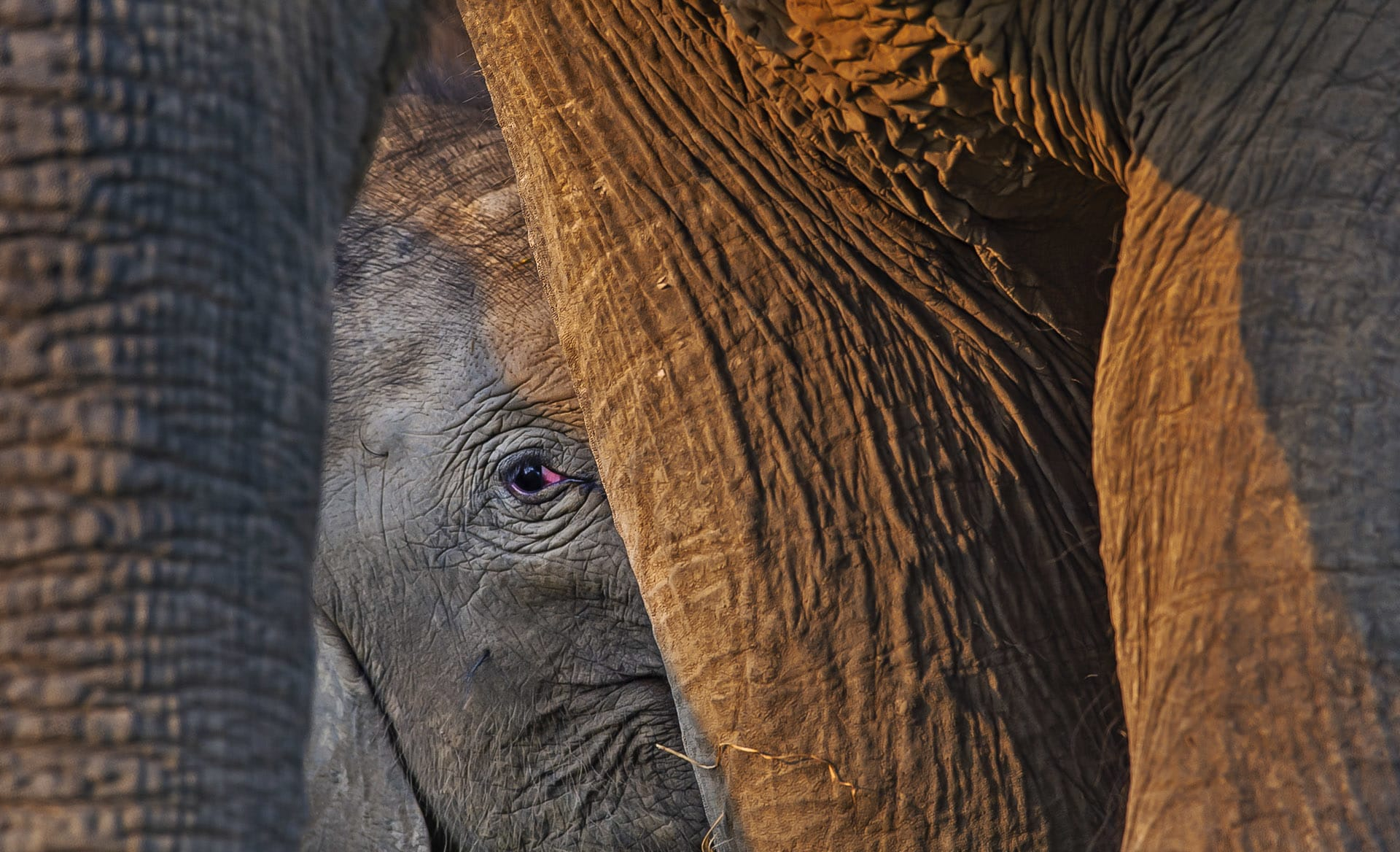 """Some studies indicate that animals use these methods of communication to express more complex emotions too. """"Elephants also feel grief and mourn when anyone of their fellow dies,"""" writes Joshi, explaining that this displays their level of cooperation. His paper cites the death of a male juvenile due to a train accident, where he observed three female elephants crying and staying around 50 metres from fallen elephant. When the elephants saw the researchers, they trumpeted loudly and suddenly five other elephants arrived there from the nearby forest. Joshi says they remained there, without feeding for 18 hours, refusing to let anybody approach the body of the juvenile."""
