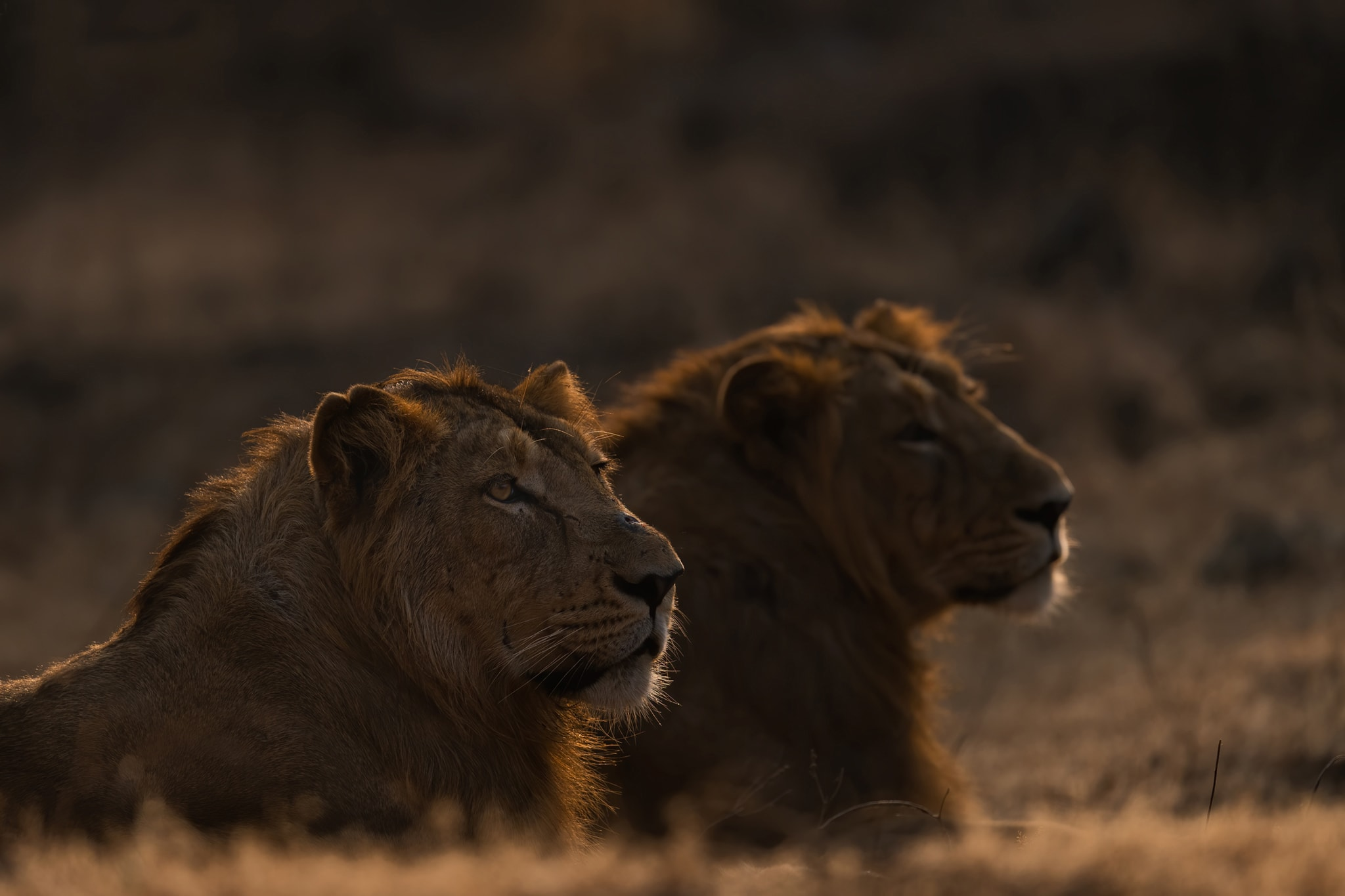 Most coalitions comprise two lions of the same age who are unrelated. They don't divide eating and breeding opportunities equally, and the dominant one takes more than his fair share. Photo: Vipul Ramanuj