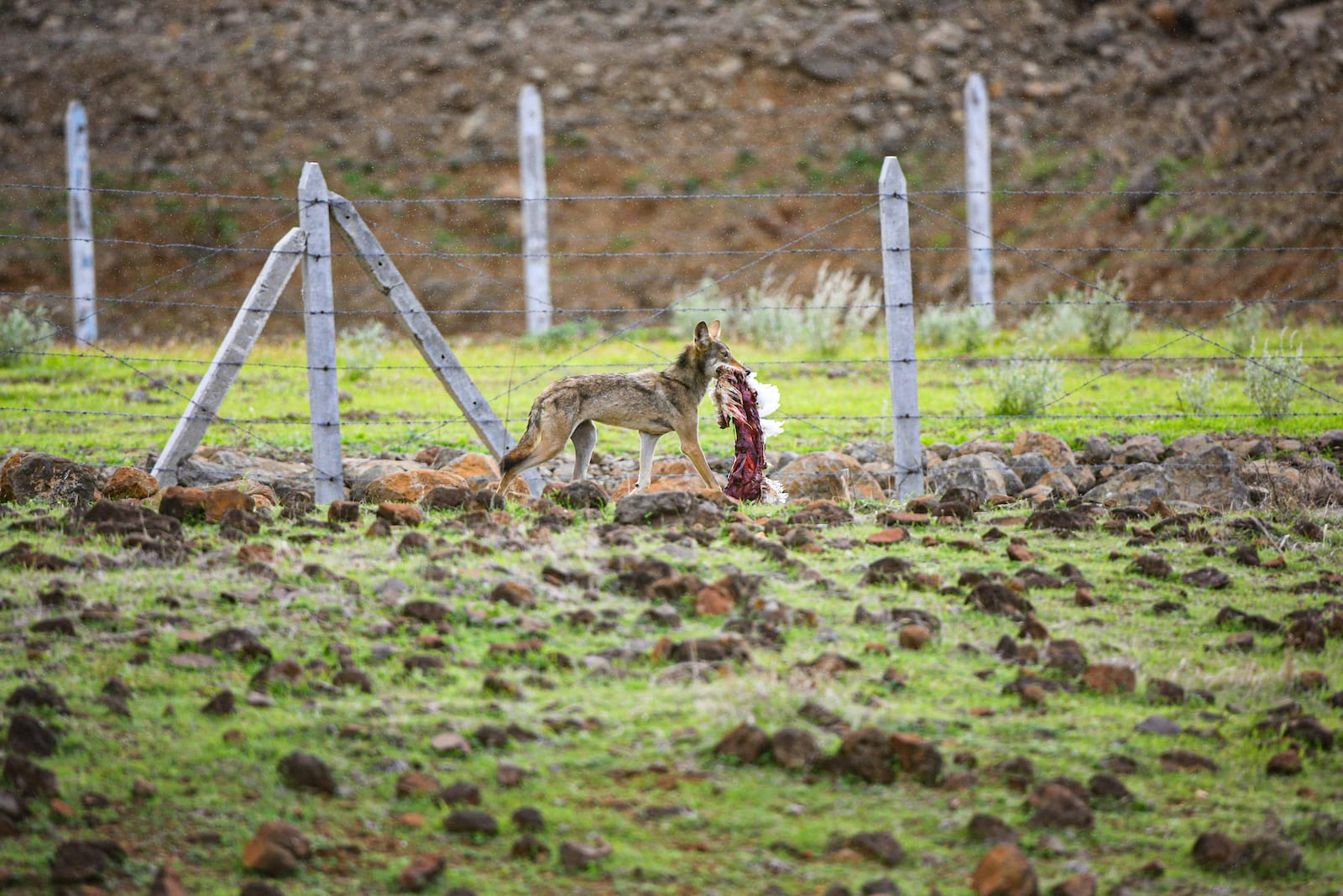 A wolf feeds on poultry waste dumped by farm owners on the Deccan grasslands in Maharashtra. Livestock is a major part of the diet of the wolves, which live near humans. Photo: Mihir Godbole/ The Grasslands Trust
