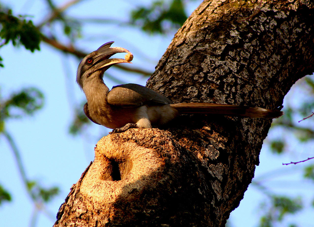 The nesting season of the Indian grey hornbill is between February and June. During this time, the male (seen here in both images) feeds the female, who seals herself in the hollow of a tree.