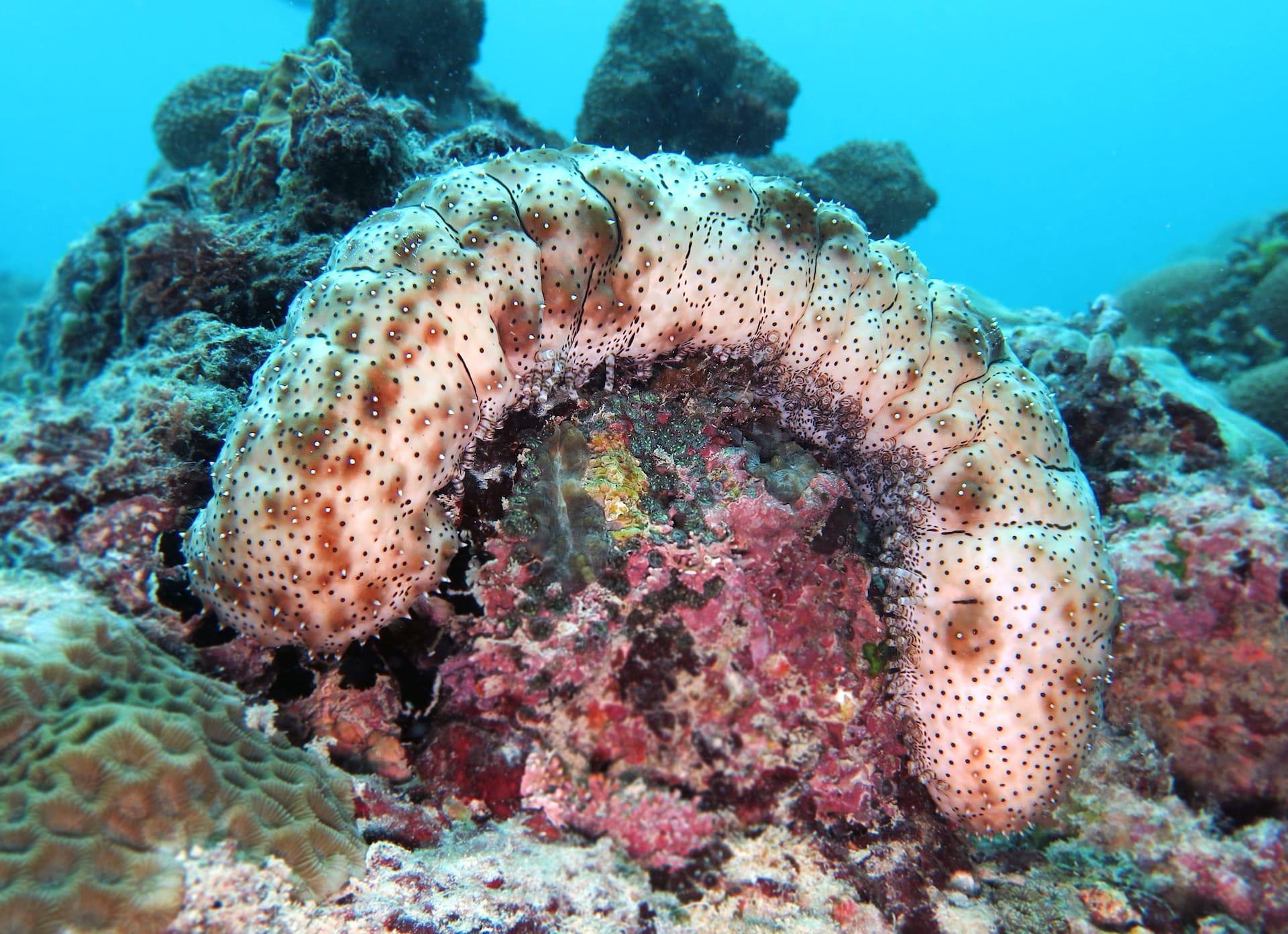 Sea Cucumbers: Silent Superheroes of the Seas