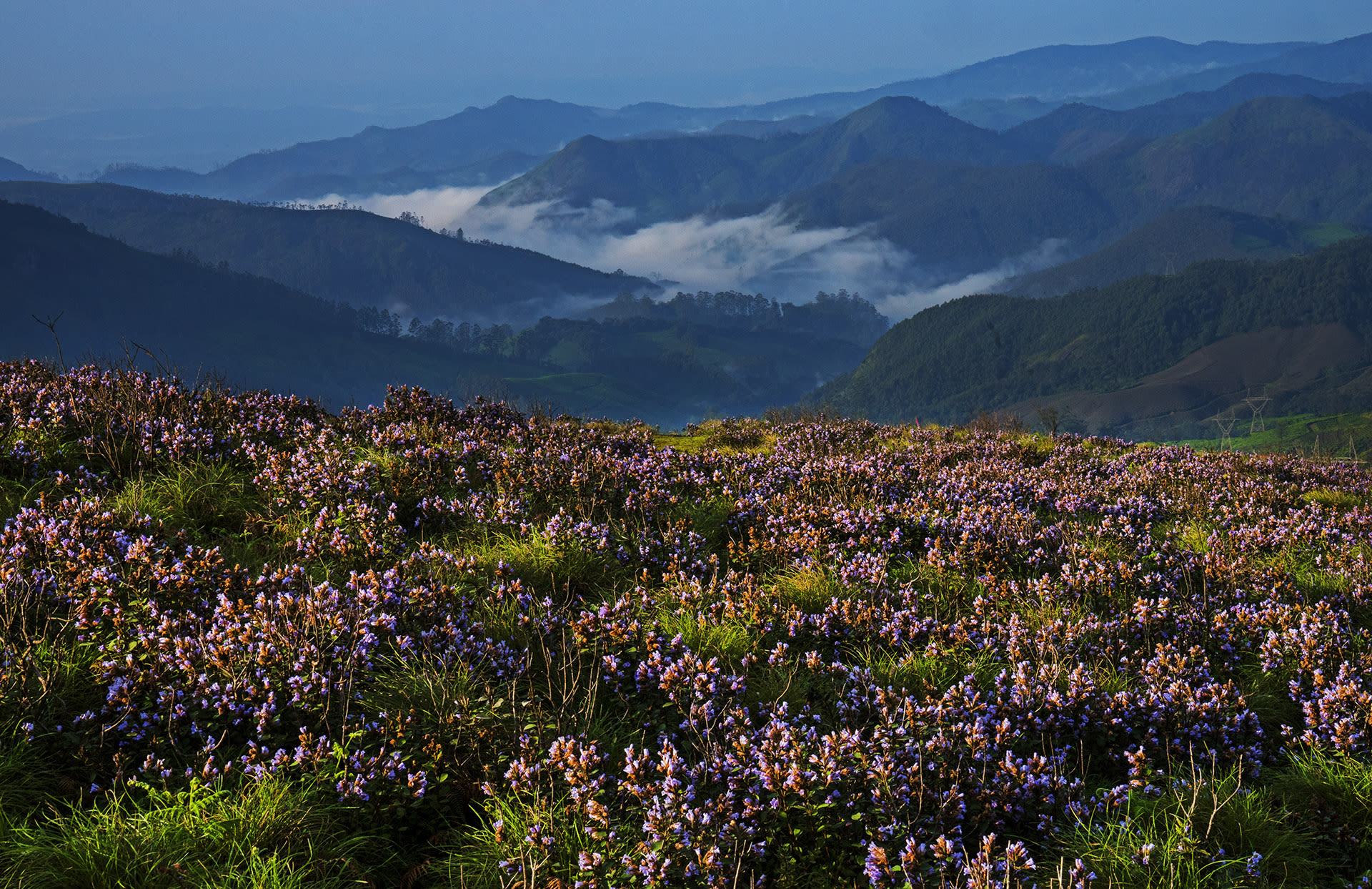 Shola grasslands are found in the higher reaches of the Nilgiris, the Anamalais, and other massifs in the southern Western Ghats. Kurinji flowers once in 12 years in these hills, turning the hillsides violet/blue. Photo: Dhritiman Mukherjee  Cover:  The blue-eyed bush frog (Raorchestes luteolus) is endemic to the Western Ghats and is found in Coorg and its neighbouring regions.  Cover photo: Sebinster Francis
