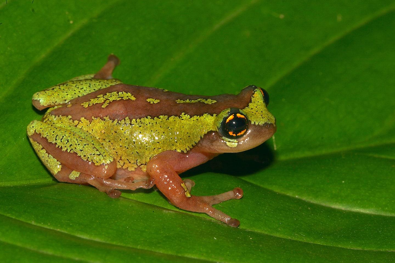 yellow-eyed bush frog