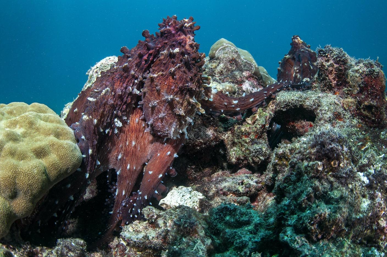 male-octopus-transfer-sperm-packets-arm-extending