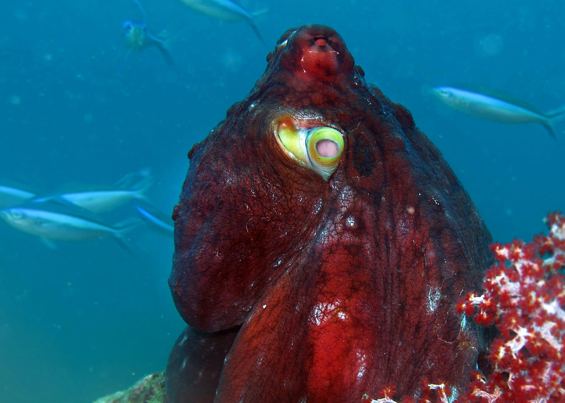 nicobar-octopus-cyanea