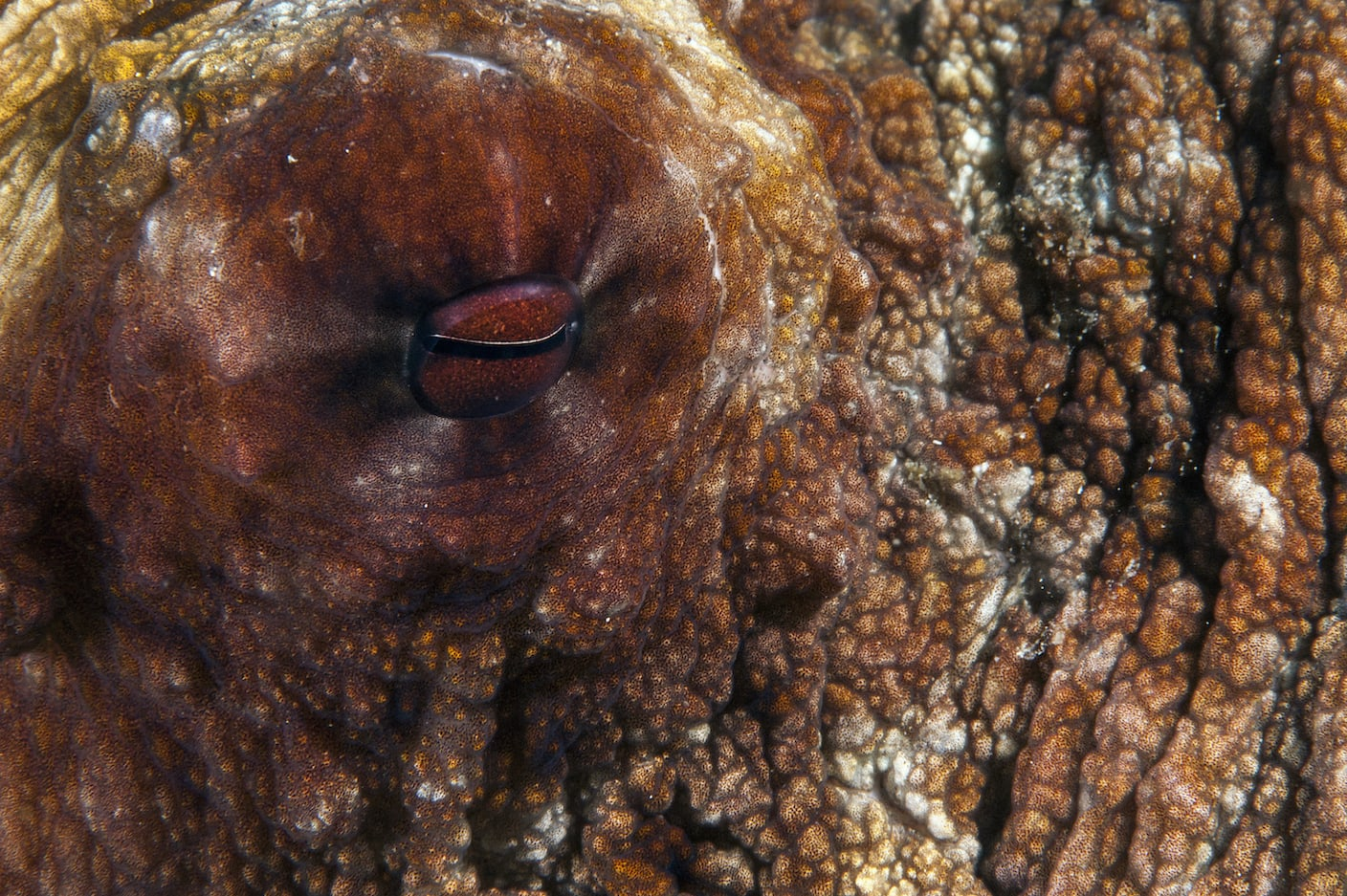 """Breeding mode in female octopuses is activated by an optic gland. Positioned close to her eyes, the optic gland functions like the pituitary gland in humans. It helps the female octopus prepare to lay her eggs after a successful session of mating. This could take a few weeks. Once the eggs have laid, there is a period of brooding still to complete before they hatch. Through this time, hormones secreted by the optic gland help the female focus entirely on caring for her clutch of eggs. This means she even quits eating. Starvation and exhaustion while continuing to keep the eggs clean, oxygenated, and safe from predators drastically weakens her strength. By the time the eggs hatch, the optic gland has sent the female octopus further into what scientists call a """"self-destruct"""" mode until she finally dies. Photo: Umeed Mistry"""