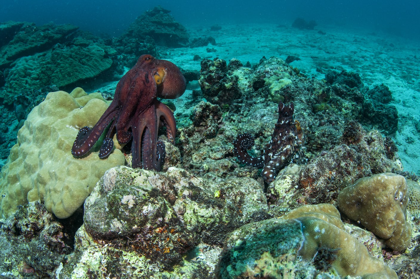 octopus-male-right-female-left-size
