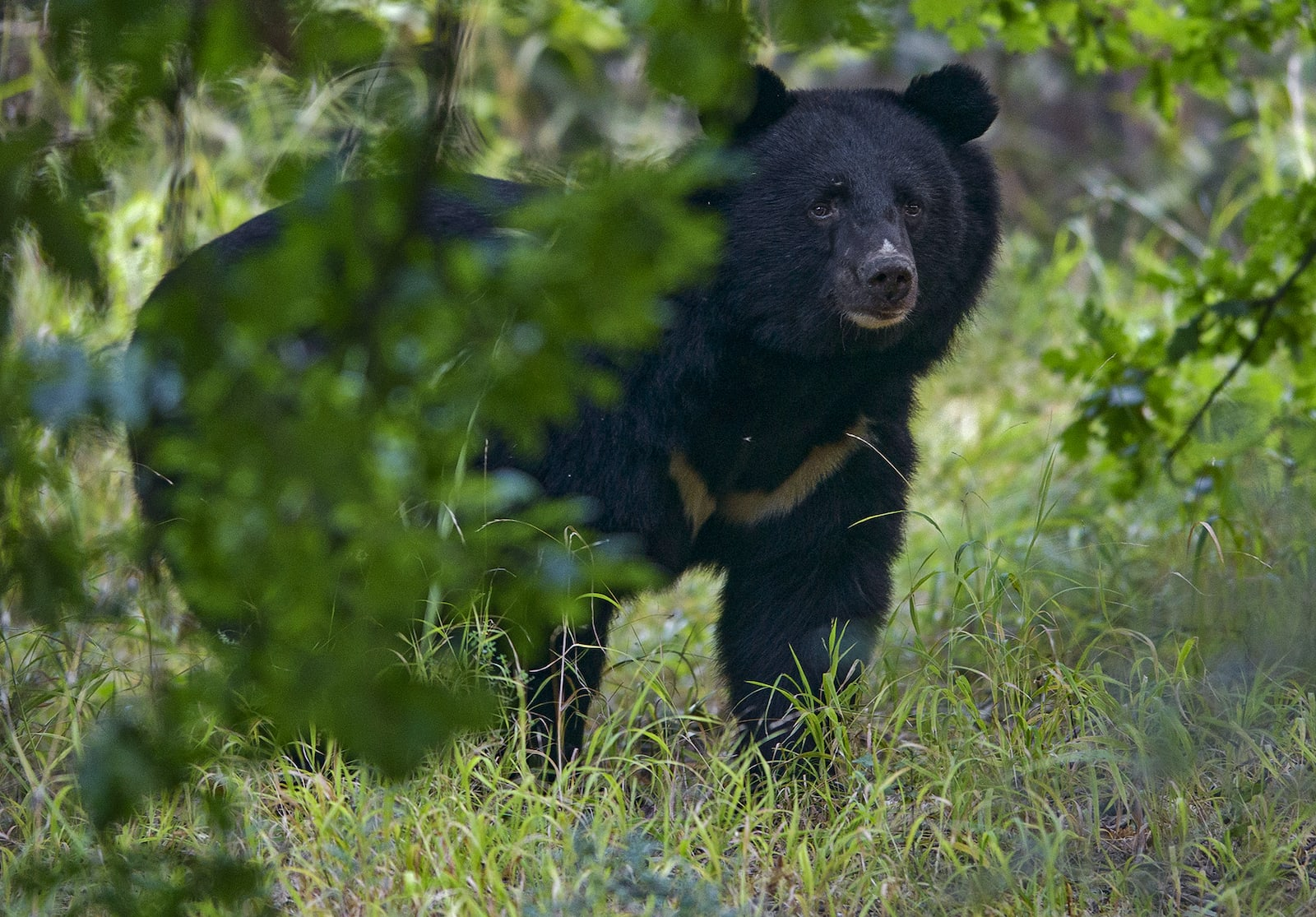 """For now, this enigmatic bear continues to roam the Himalayas, snacking on its favourite foods and tending to its home forests like a good gardener. But how long will these beautiful creatures have the """"bear"""" necessities they need?"""